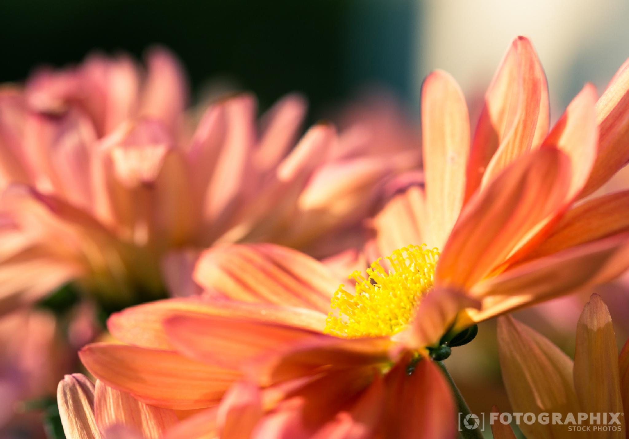 Chrysantheme | Chrysanthemum by fotographix