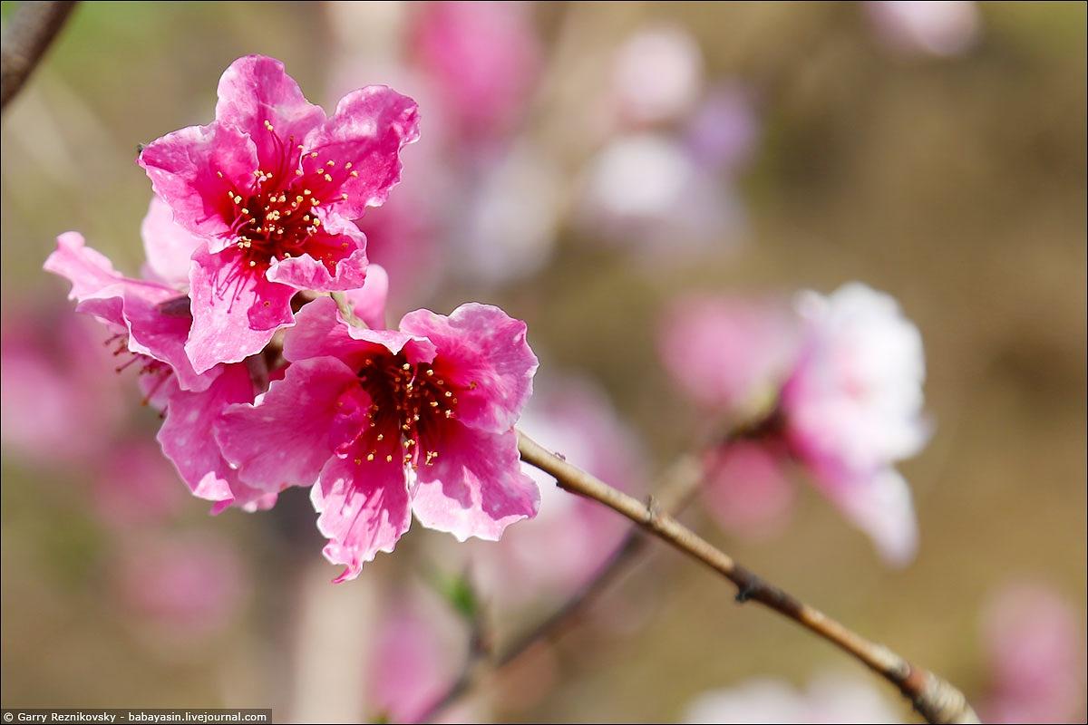 Peach blossom in the Upper Galilee 2 by Garry Reznikovsky