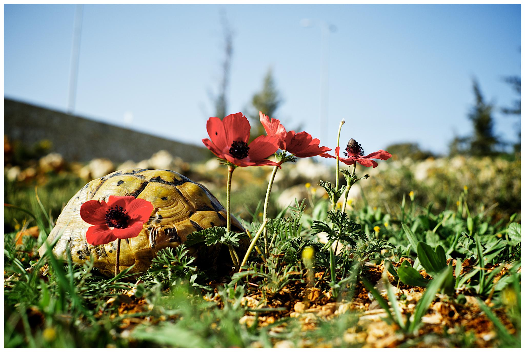 Turtle and red flowers by David Plotnikov