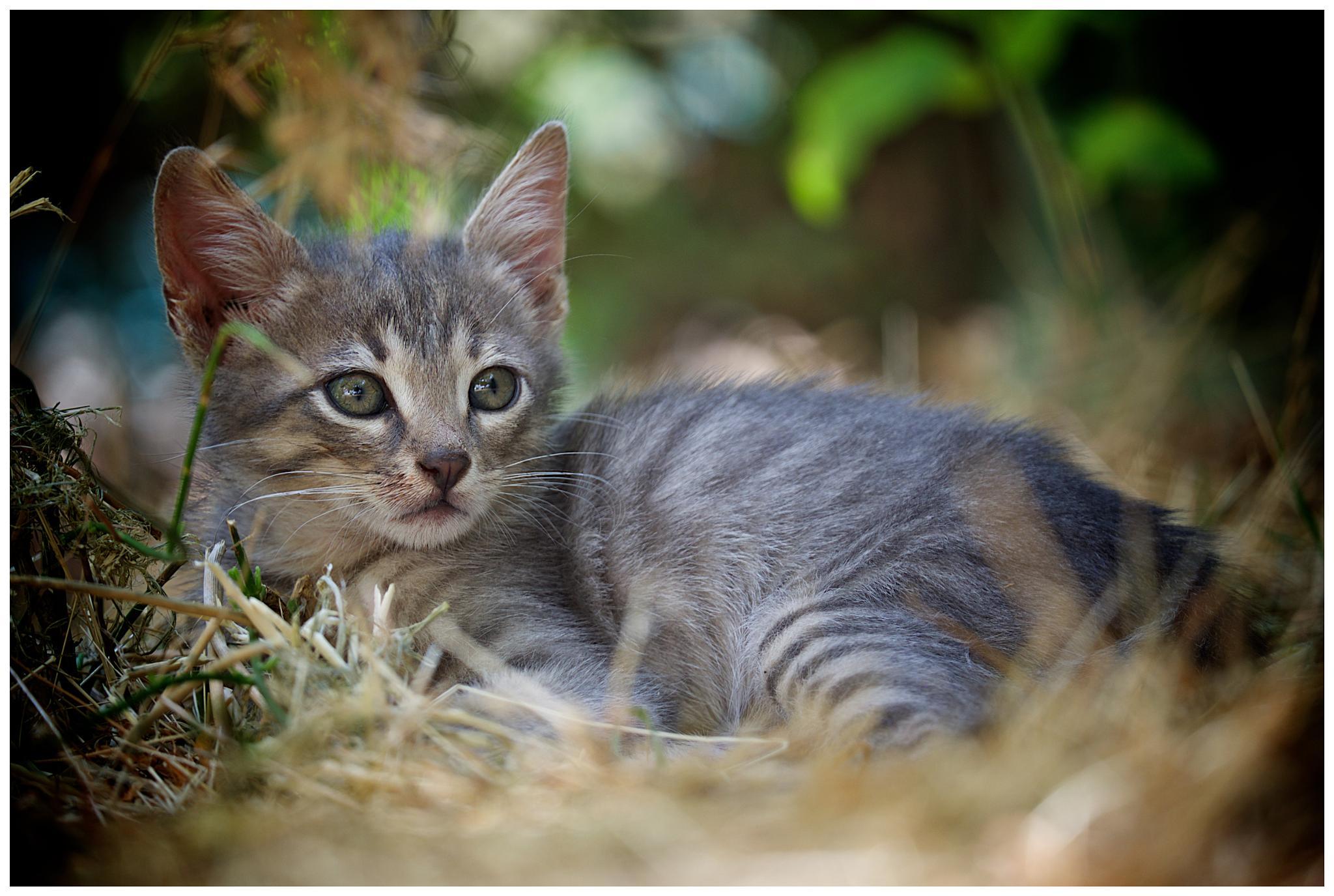 Israel kitty by David Plotnikov