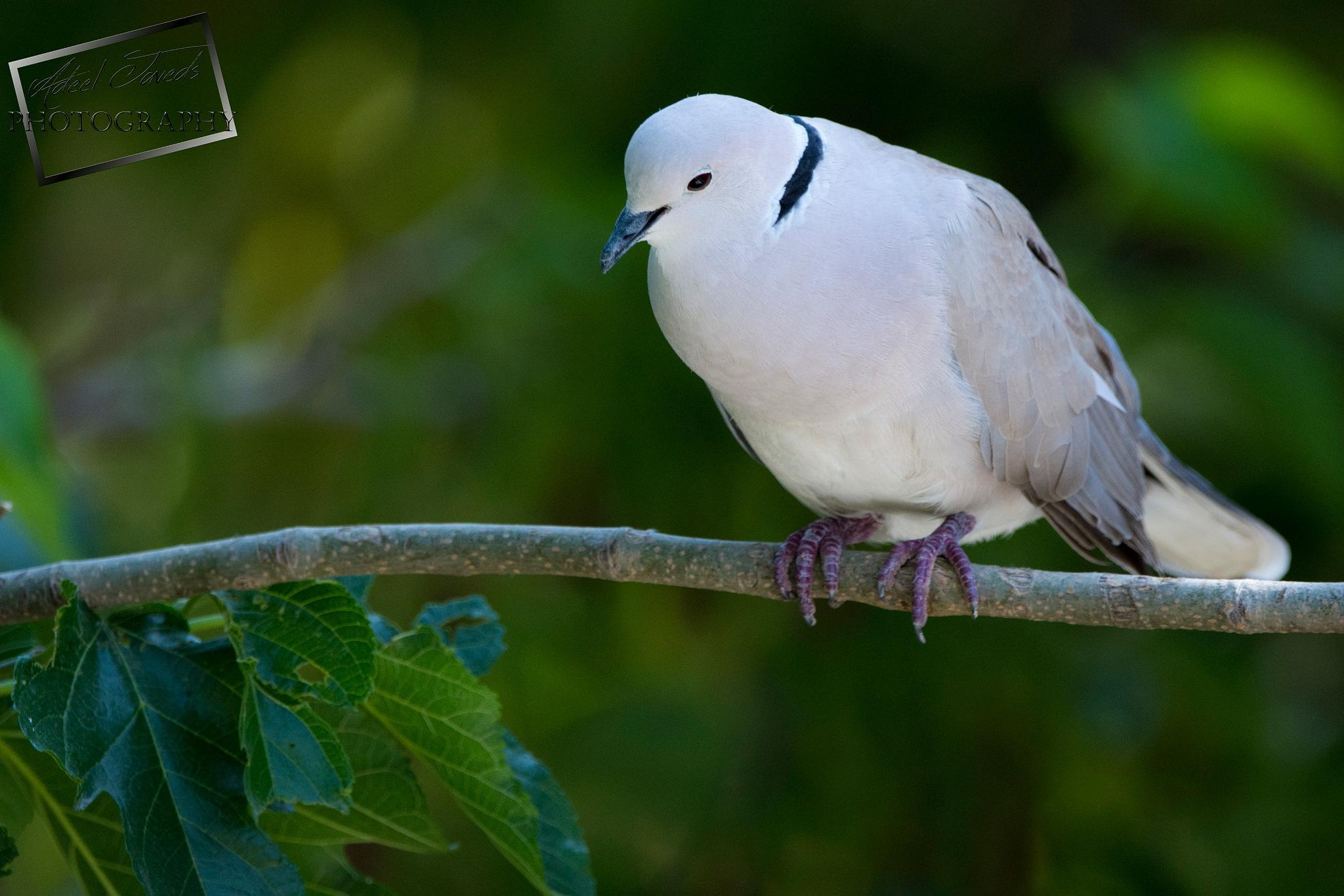 Barbary Dove  by Adeel Javed