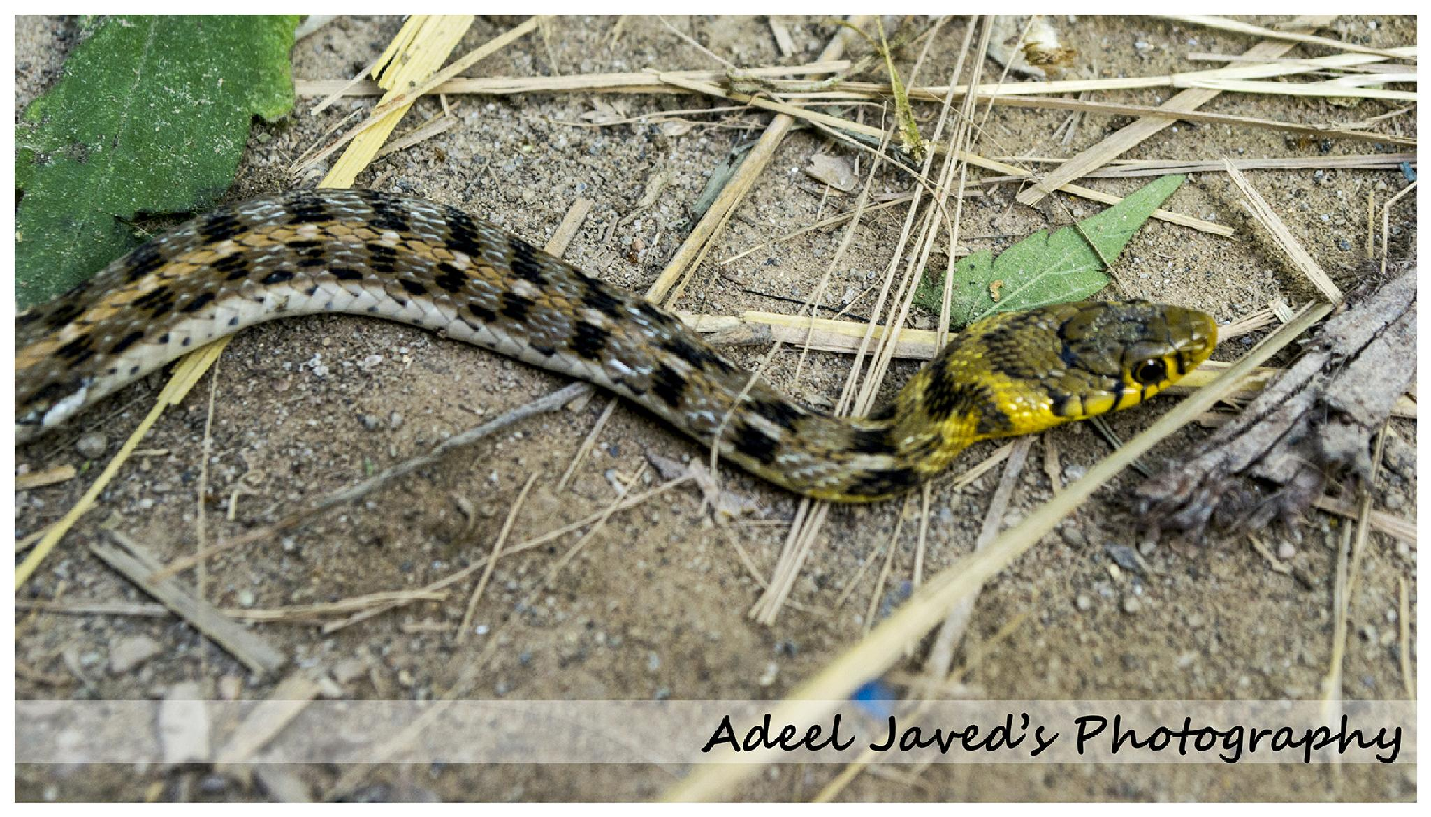 Buff Striped Keelback Snake by Adeel Javed