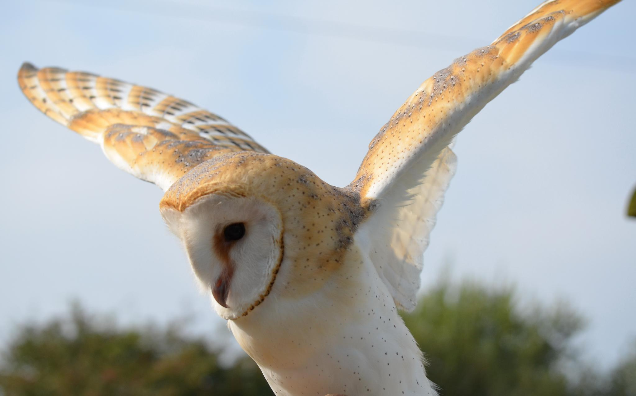 Barn Owl  by AndyWaters