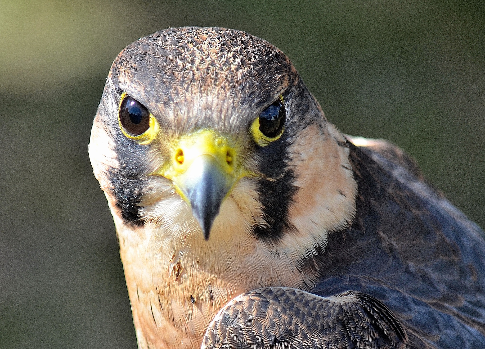 Peregrine by AndyWaters