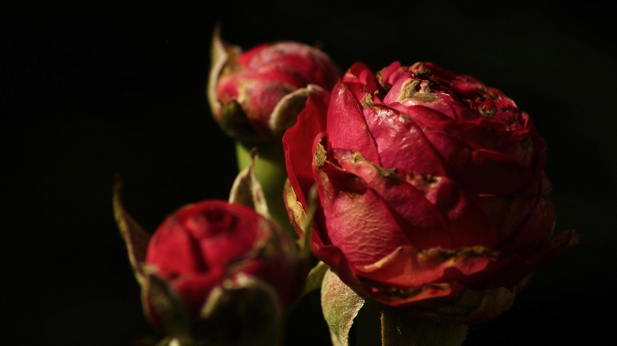 Photo in Still Life #roses #nature