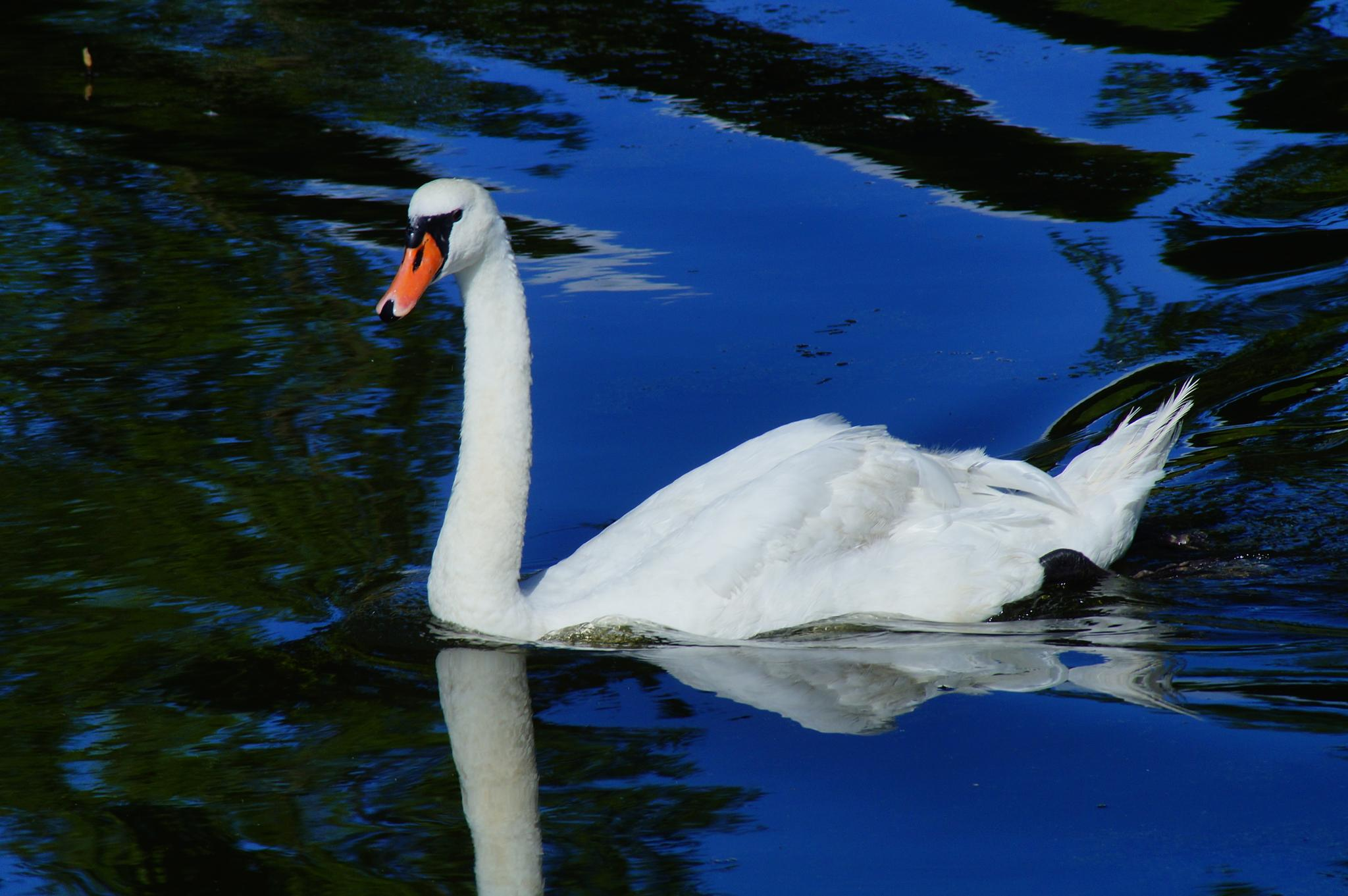 swan by lisbeth.westergaard