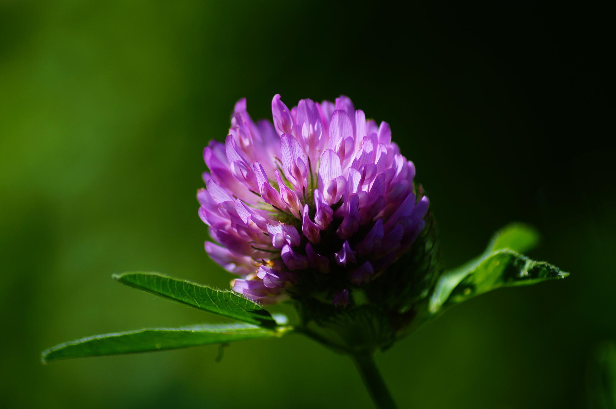 clover by lisbeth.westergaard