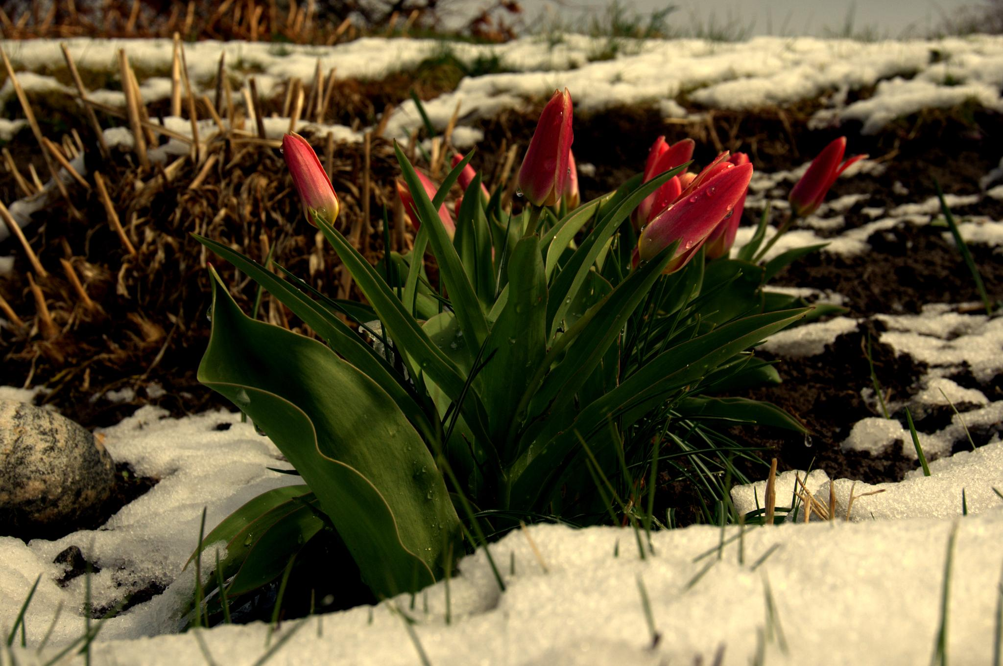 #Tulip#Snow#Norway# by anne.l.brunstad
