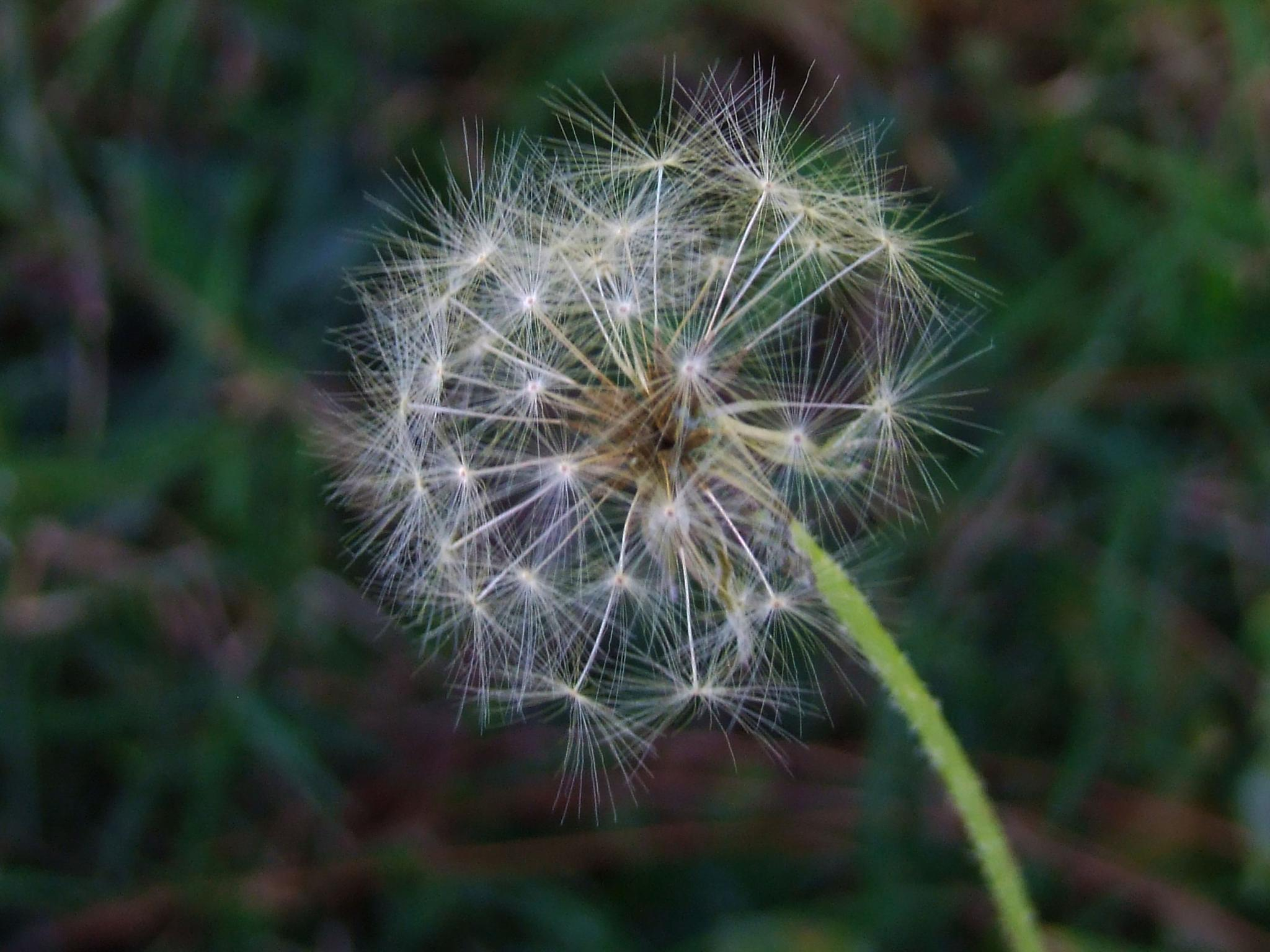 Dandelion by Mohammad Javeed Djoma
