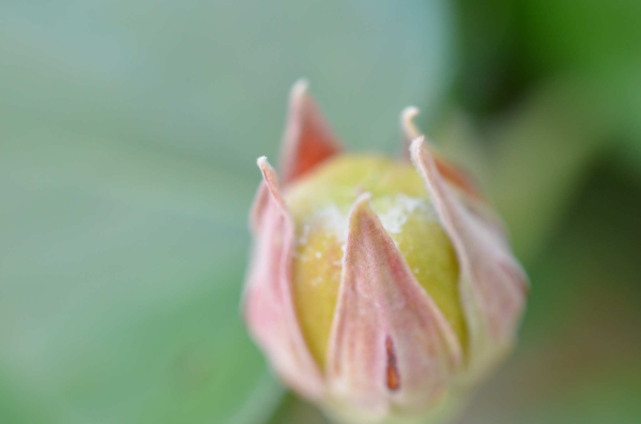 Flower Bud by Bharat Aluri