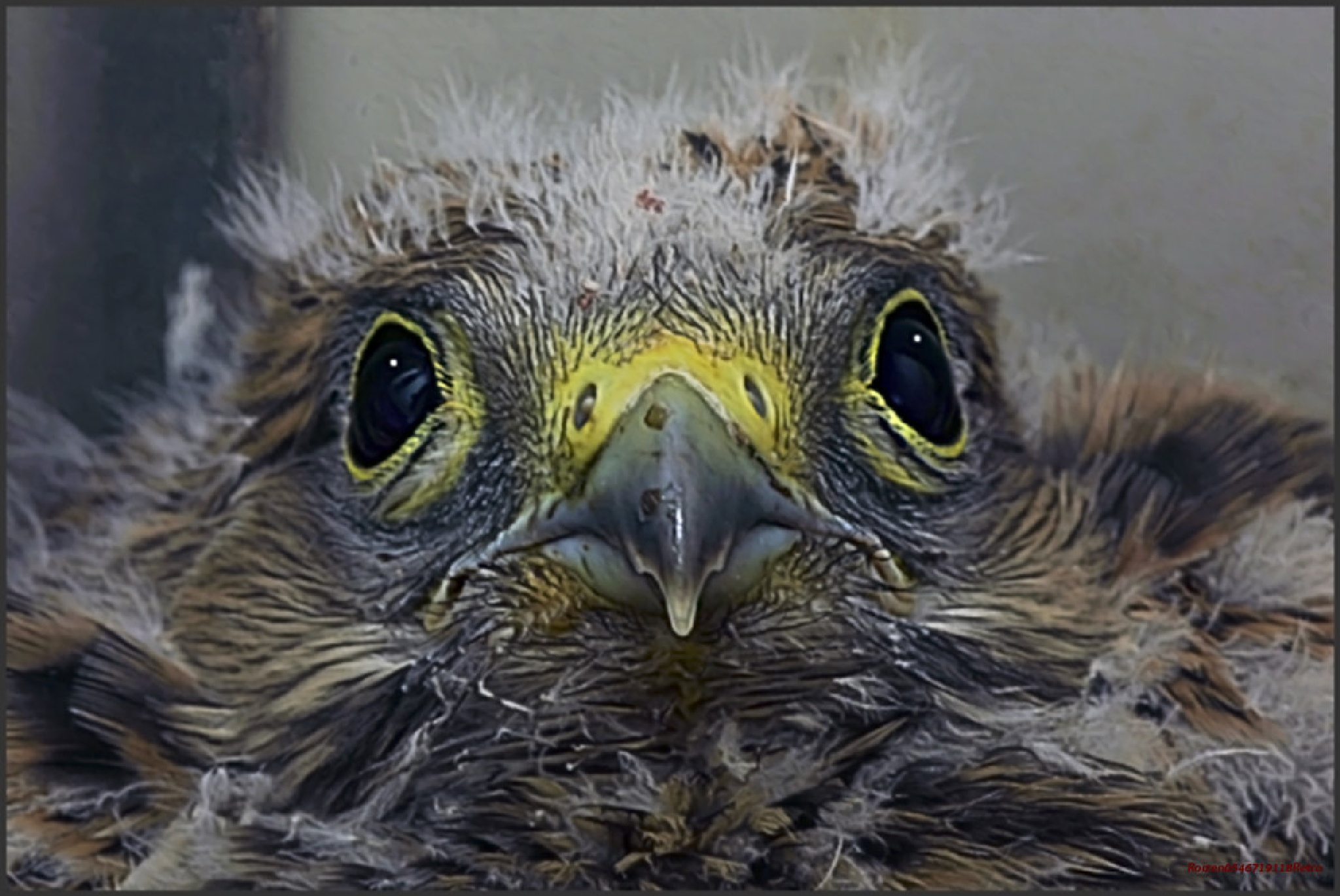 kestrel chick portrait by SHMUAL HAVA RETRO