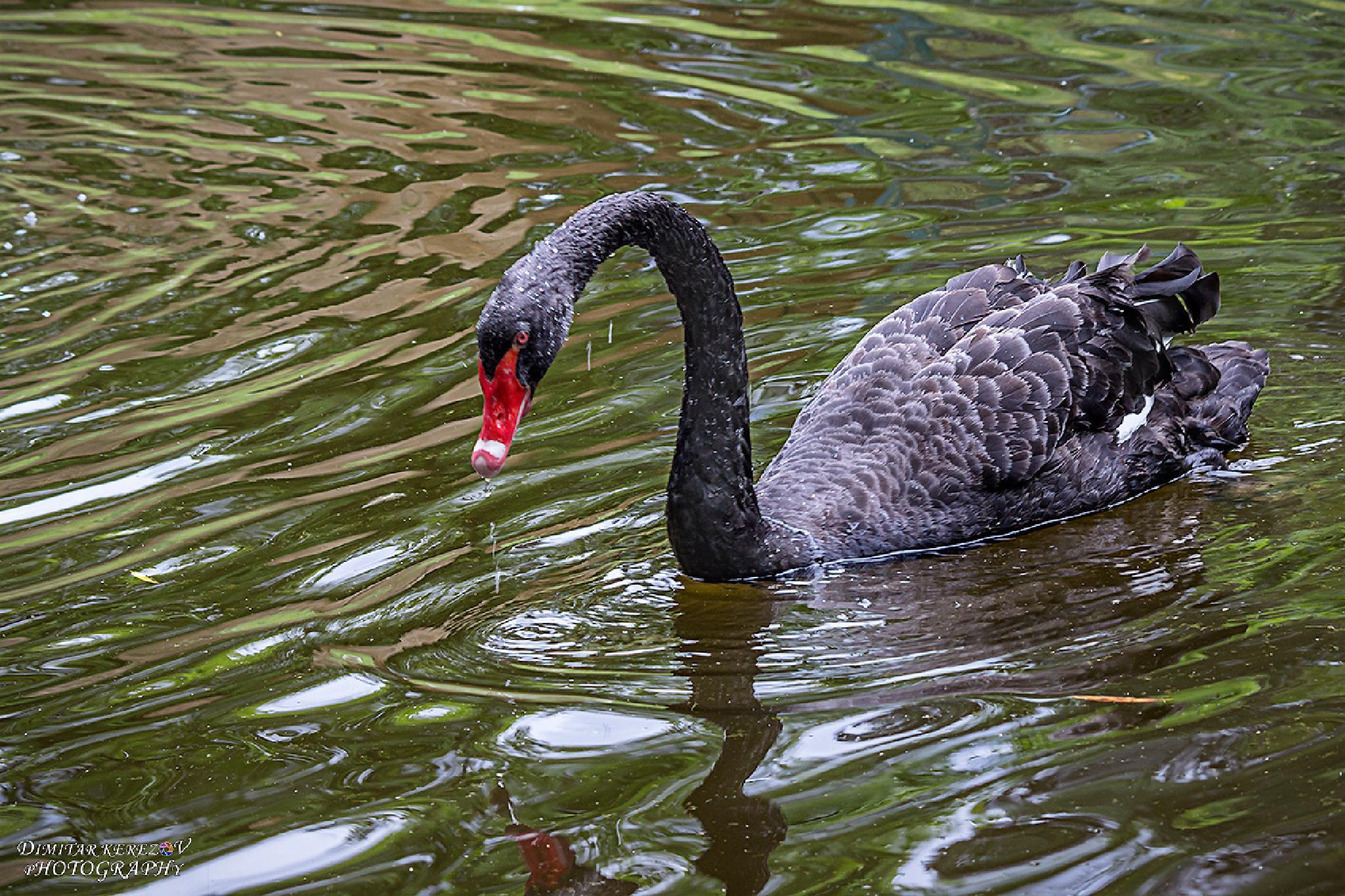 Black Swan by Dimitar Kerezov