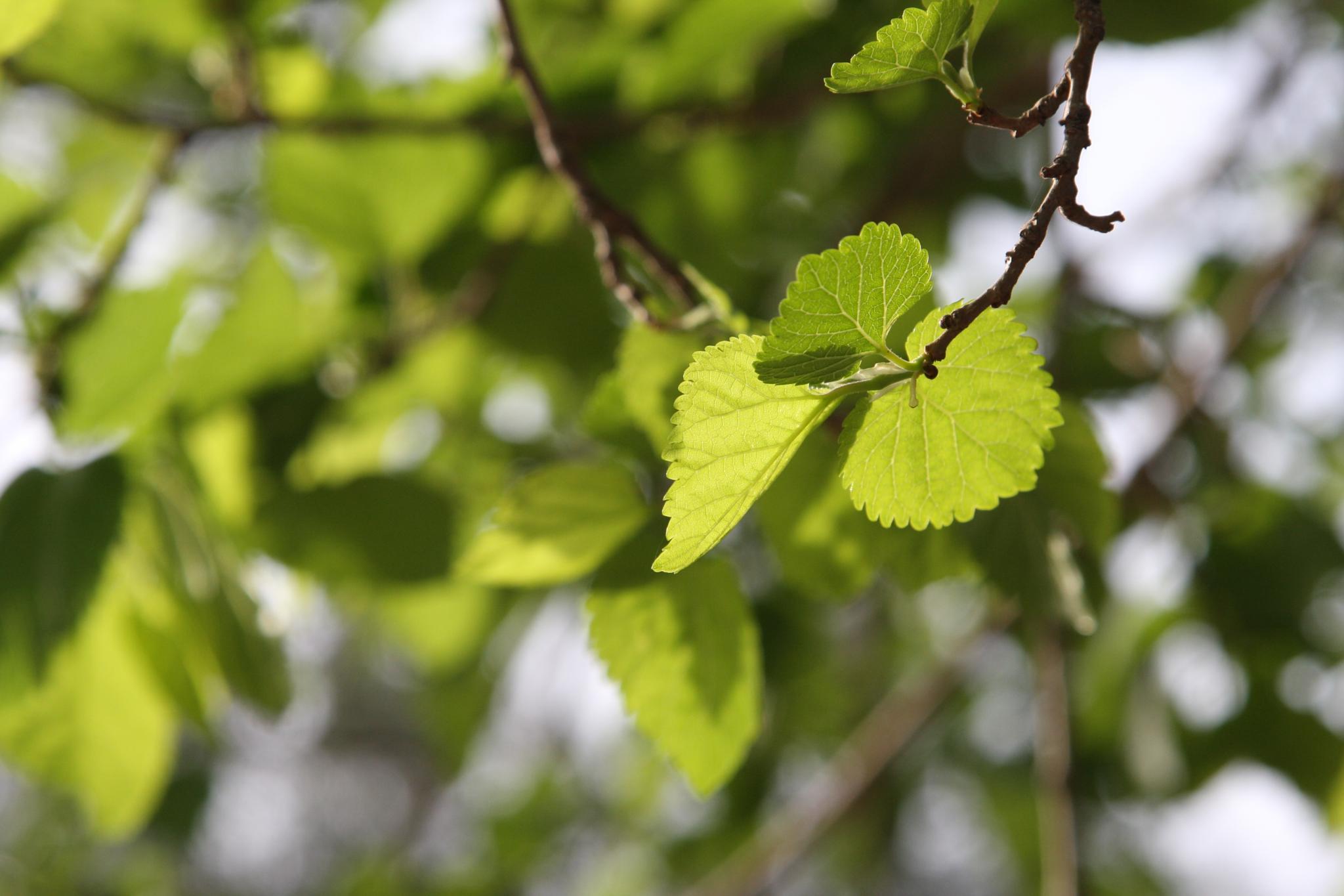 Three leafs by khatat