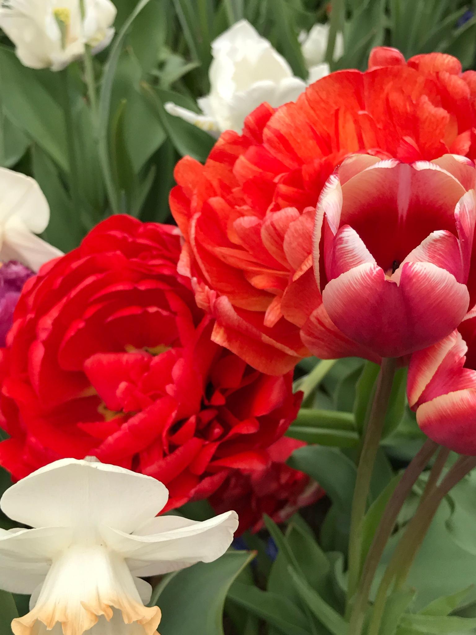 Tulip fields by Darren Juden Gardner