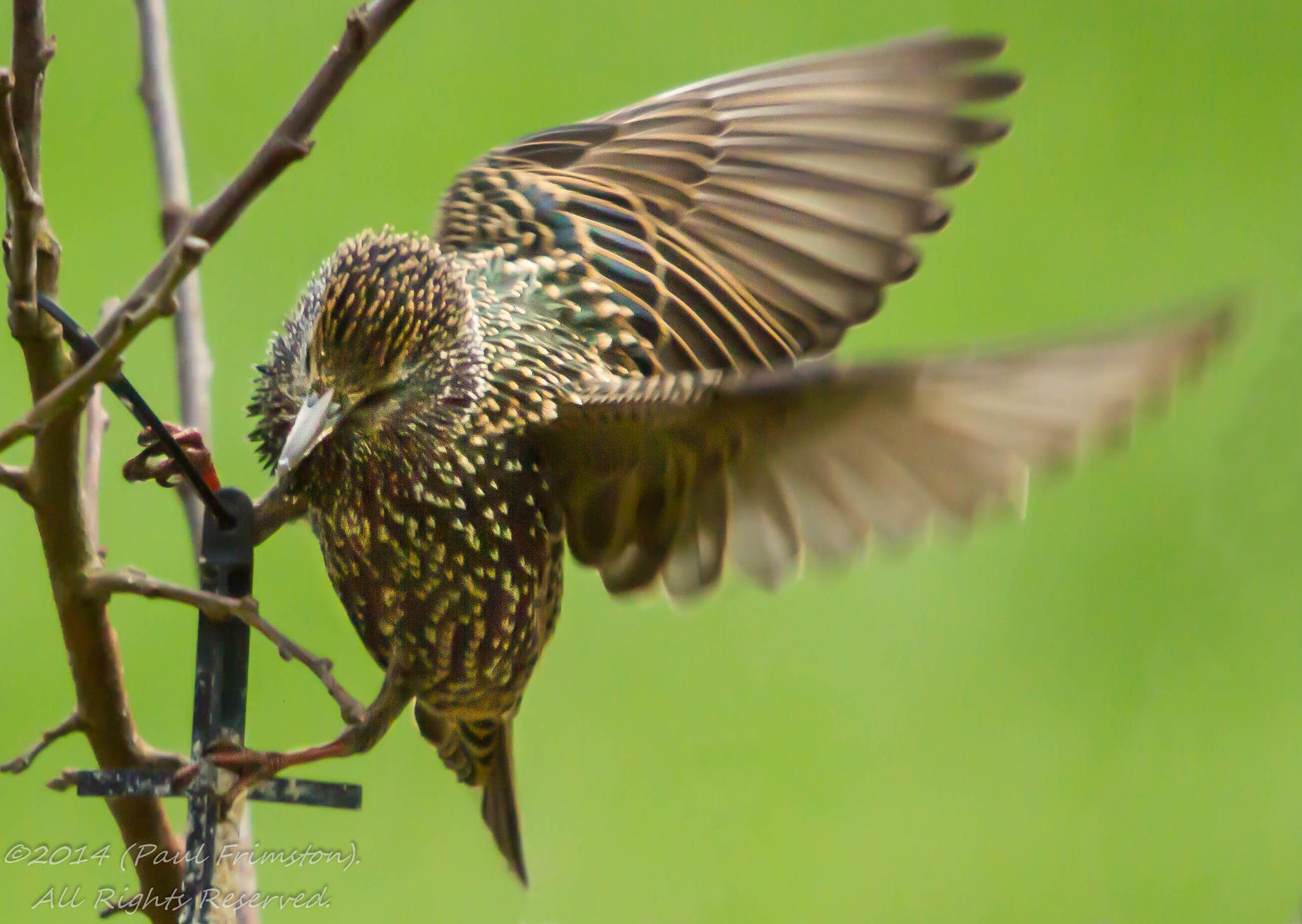 Starling by Paul Frimston