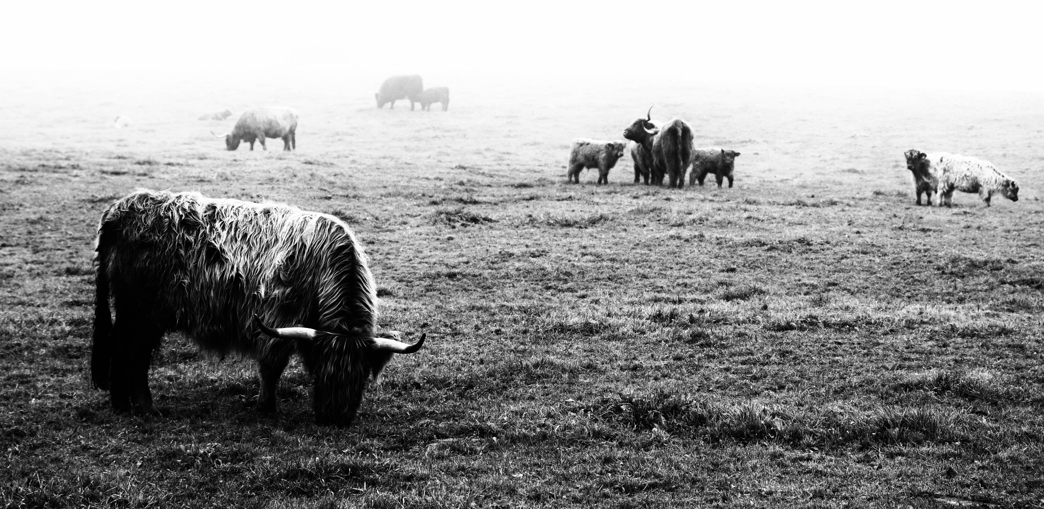Cattle Group by Paolo Fabbione