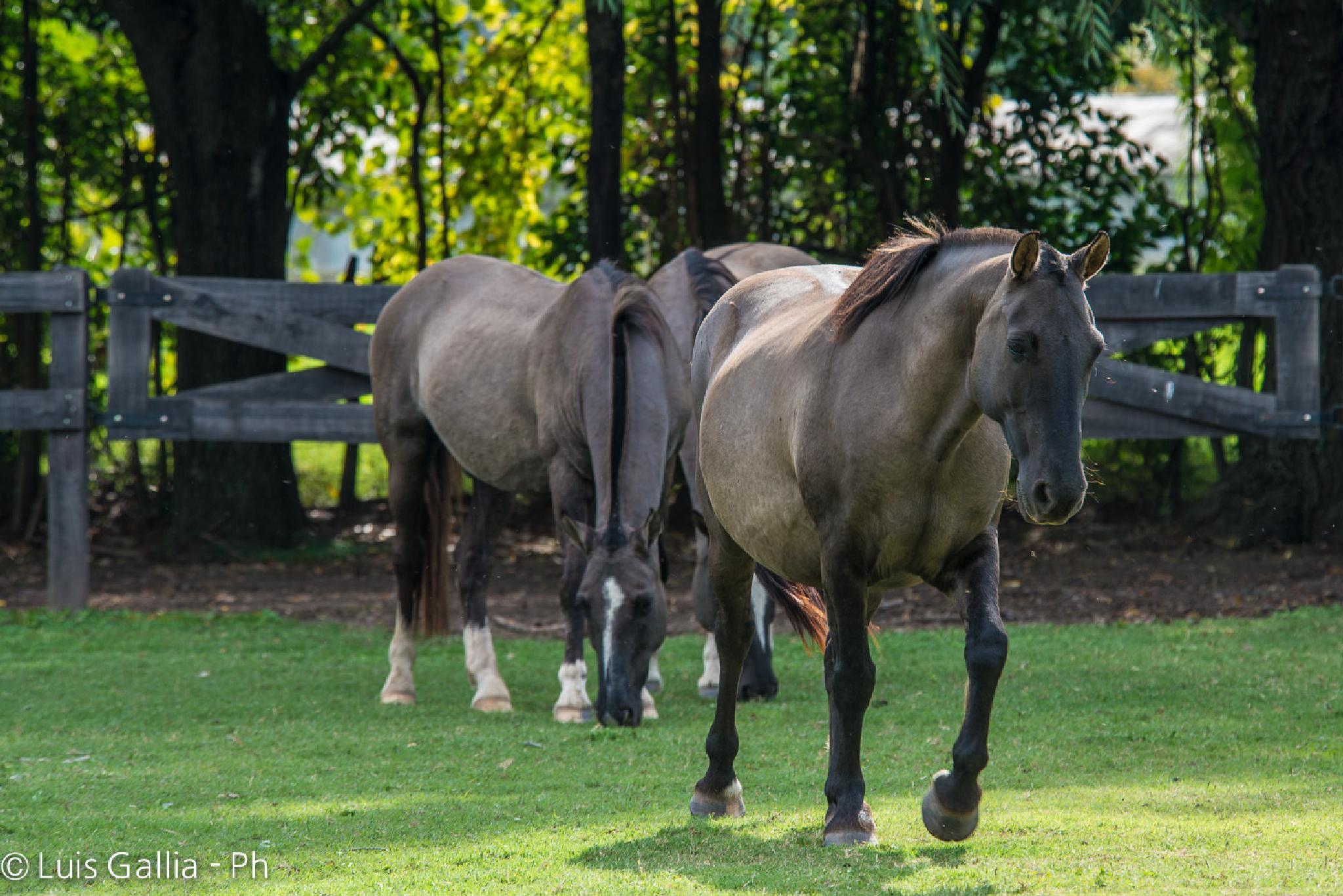 Horses by Luis Gallia Ph