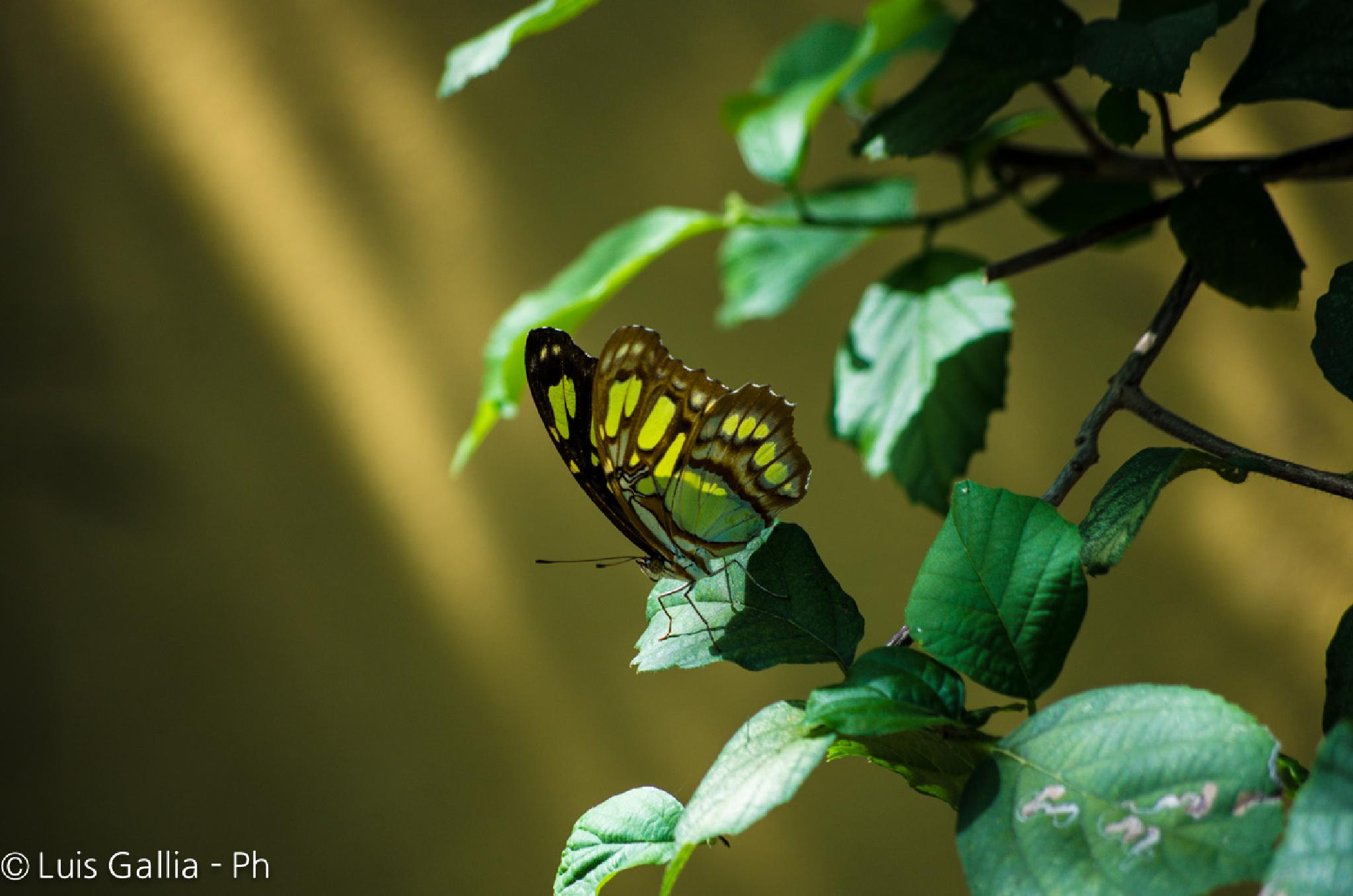 Butterfly by Luis Gallia Ph