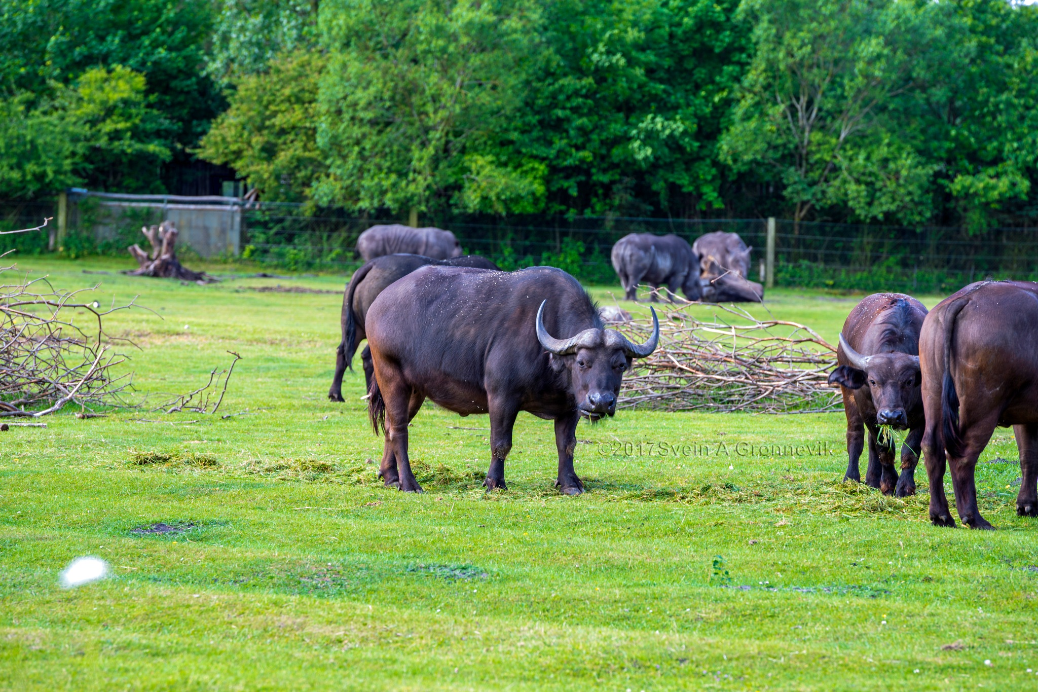 Buffalo by Svein Arne Grønnevik