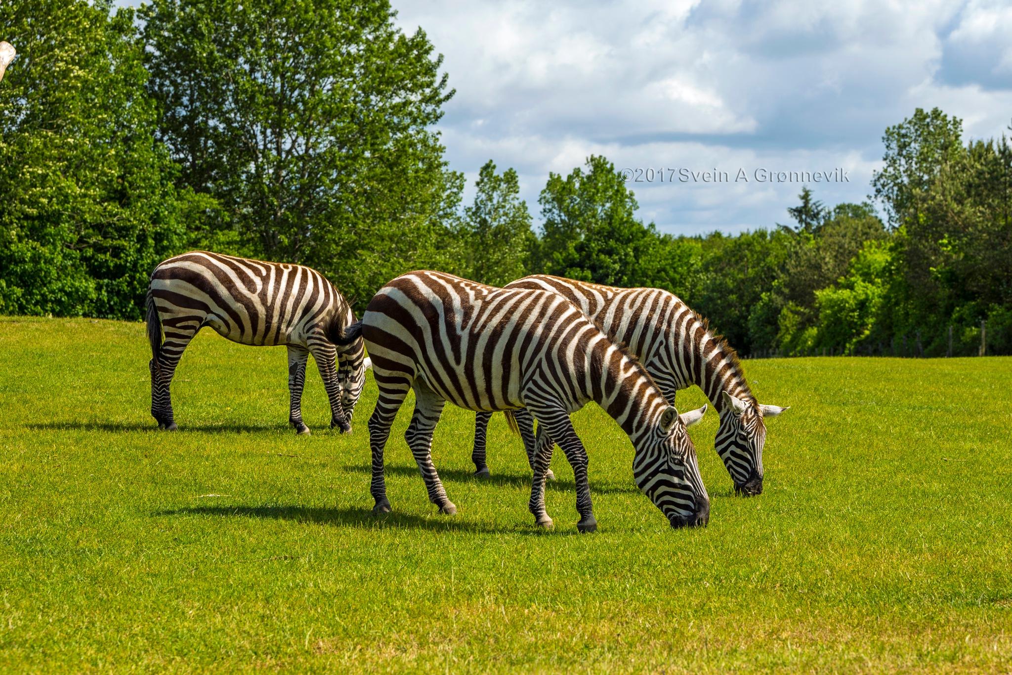 Zebra by Svein Arne Grønnevik
