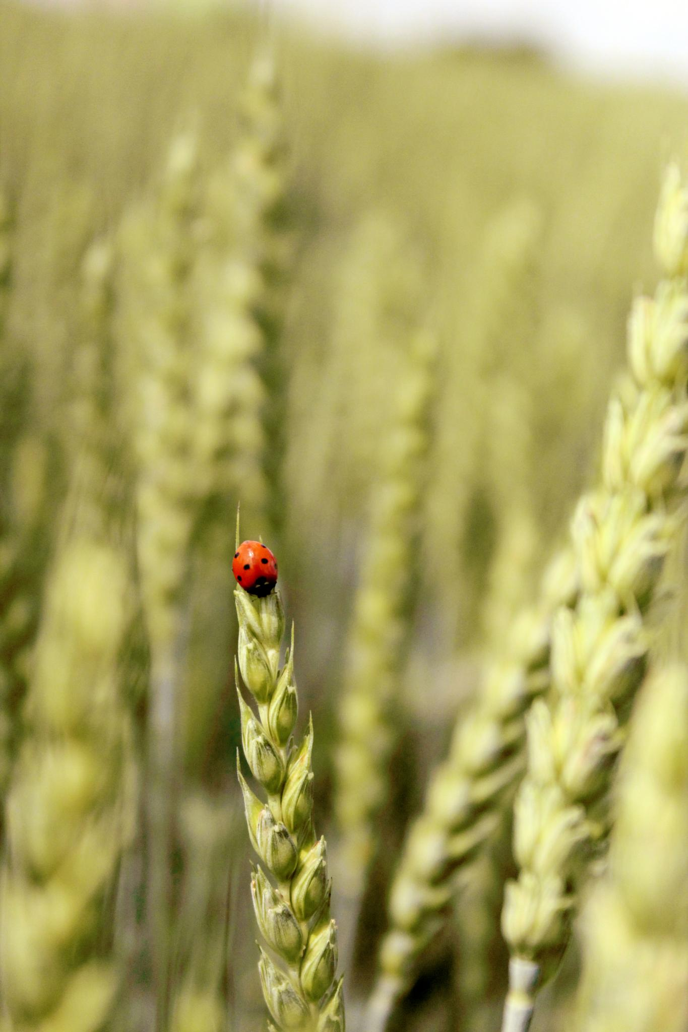 Photo in Nature #ladybug #field #cobs