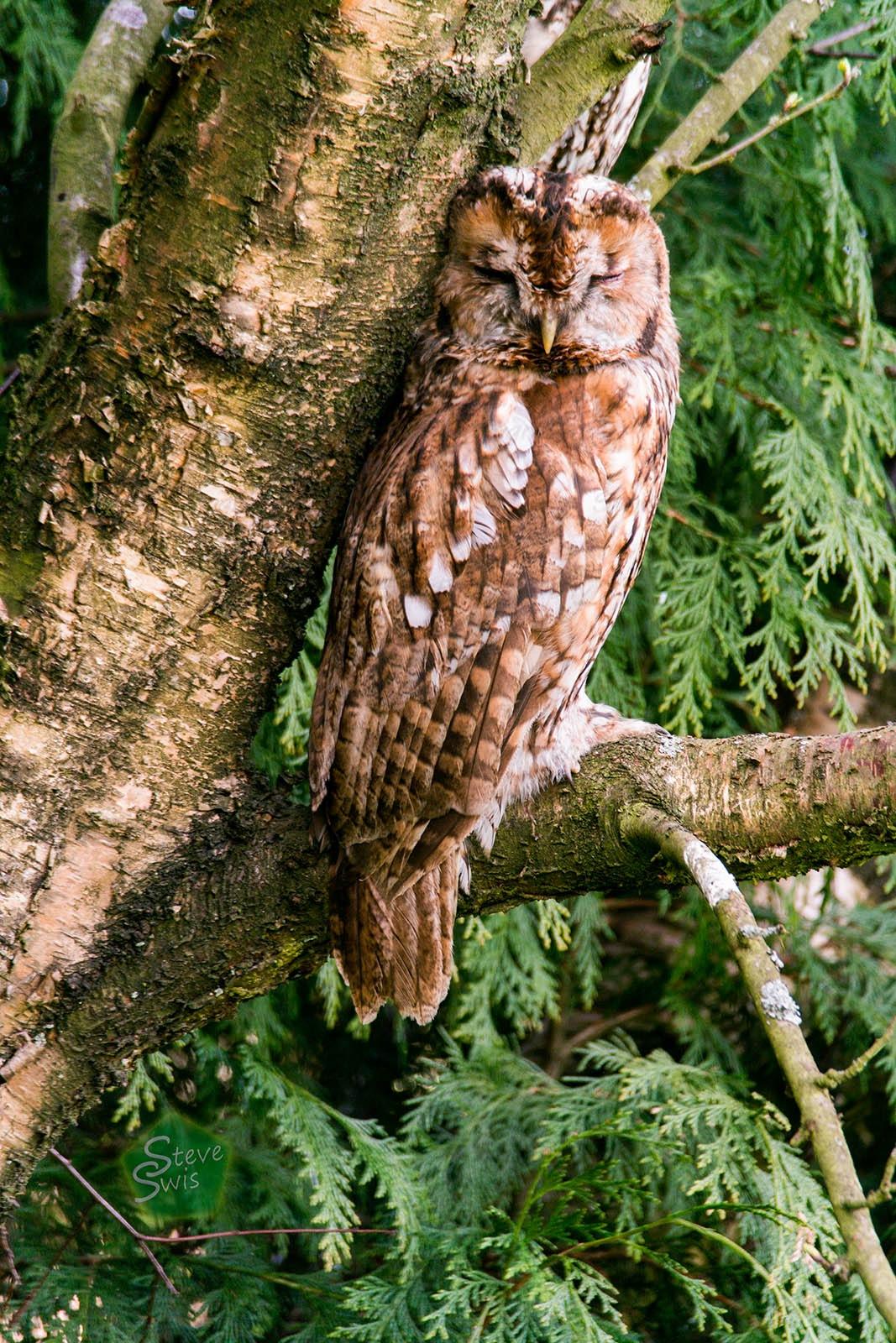 Tawny owl asleep by Steve Swis