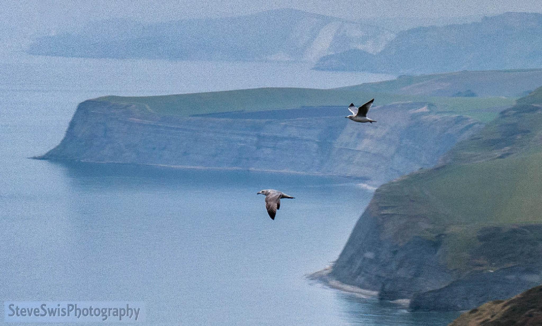 gulls over Jurassic Coast by Steve Swis