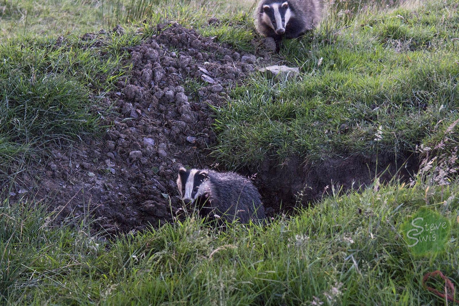 badger set by Steve Swis