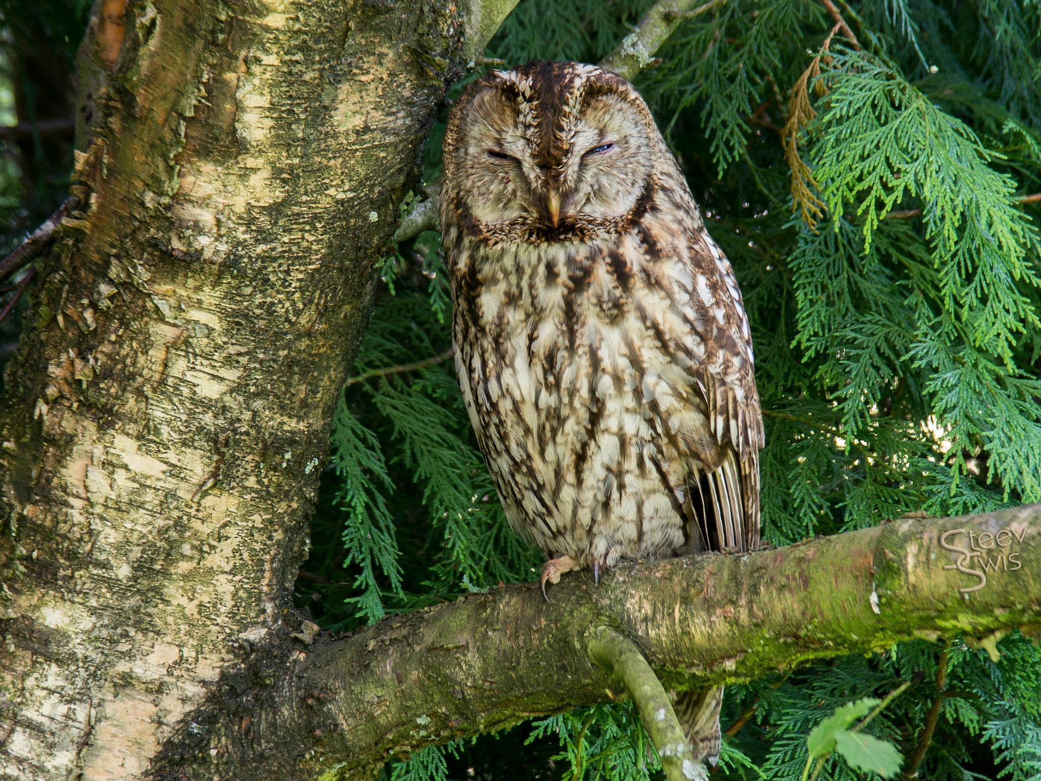 Tawny Owl by Steve Swis