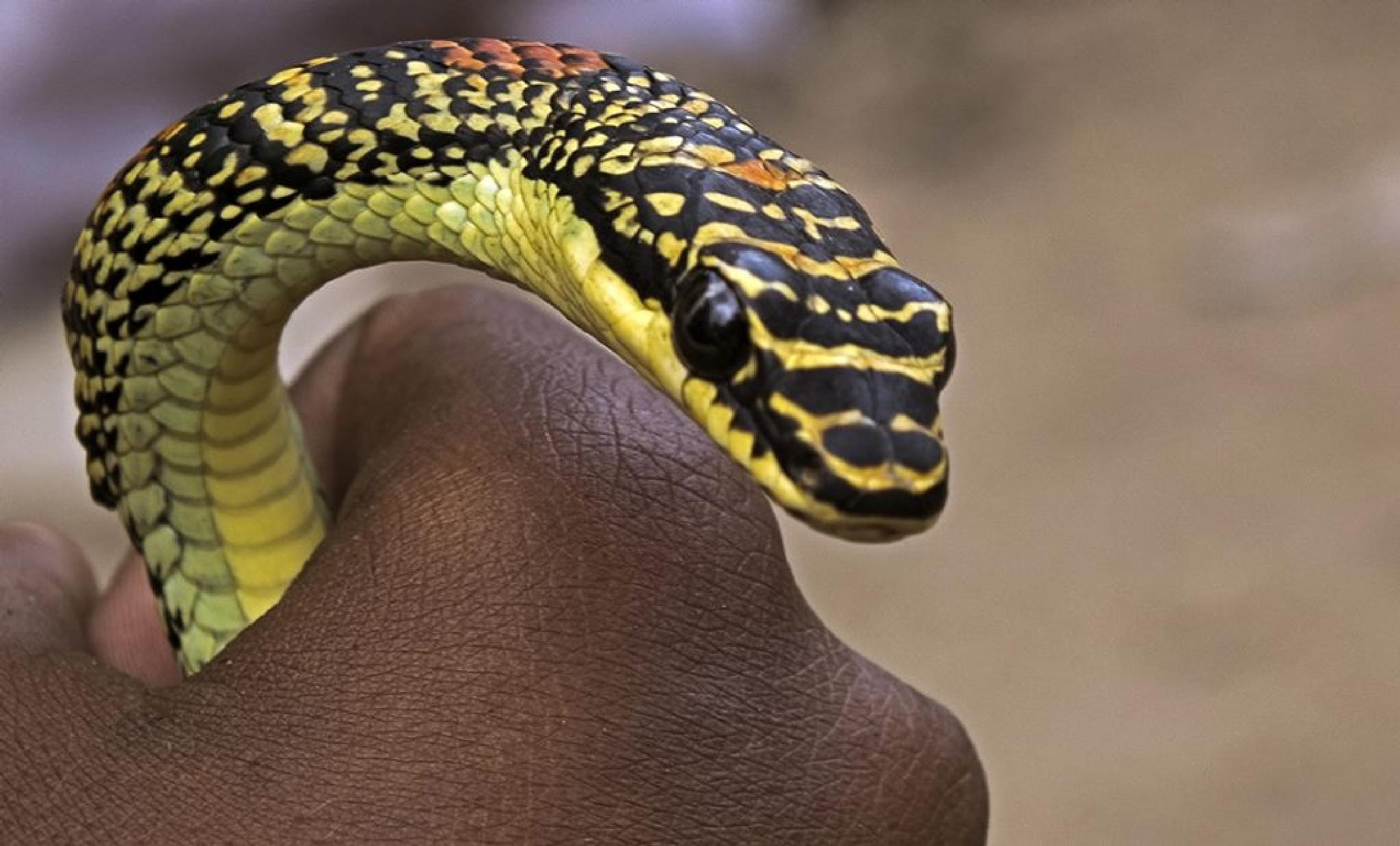 snake in the hand by albertsiraj