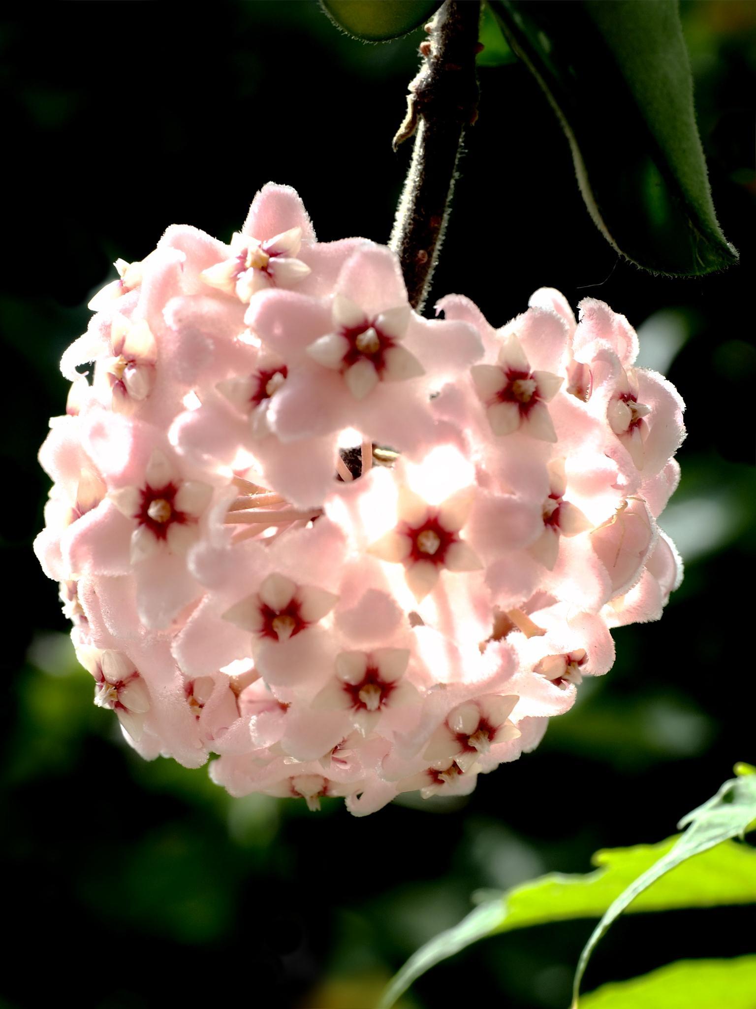Wax Plant - Hoya carnosa by Raymond Thill