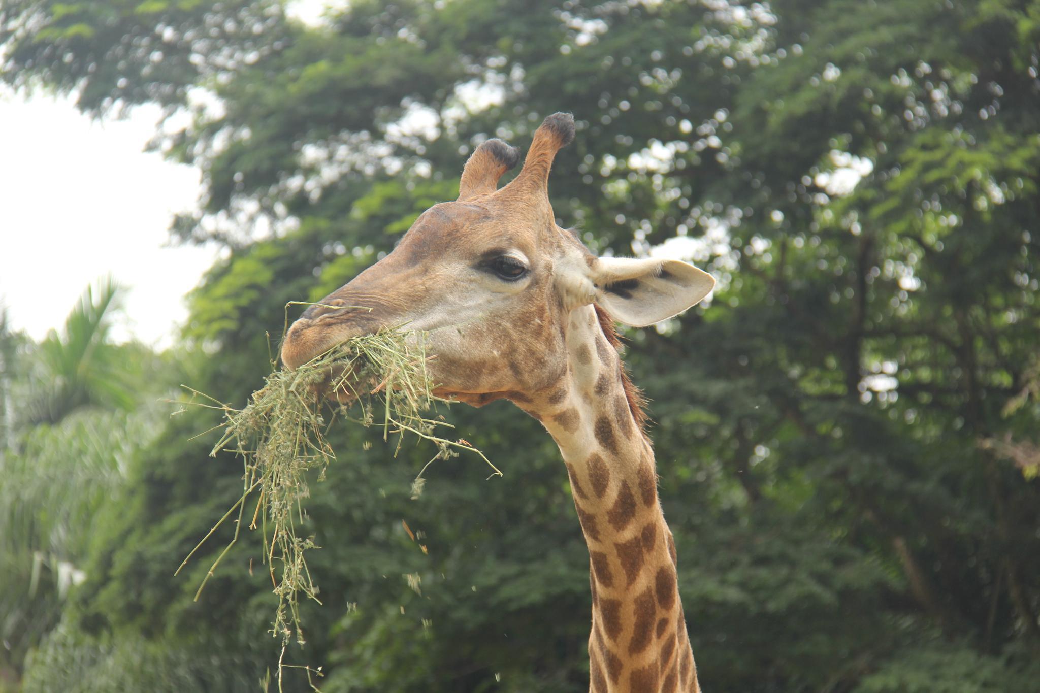 Giraffa Lunch by Diego Nitta