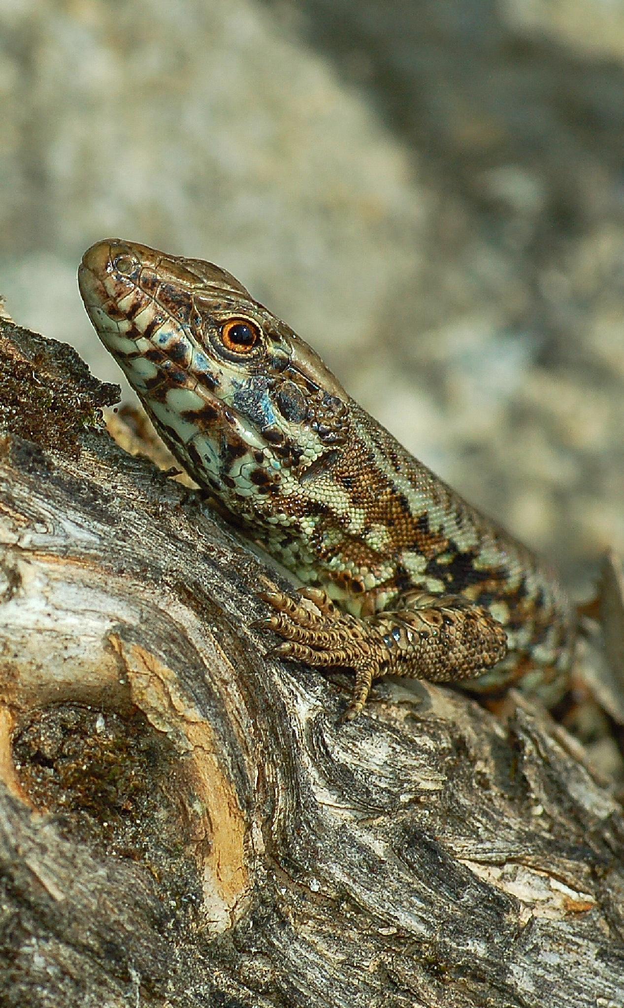 Lizard by Phif60