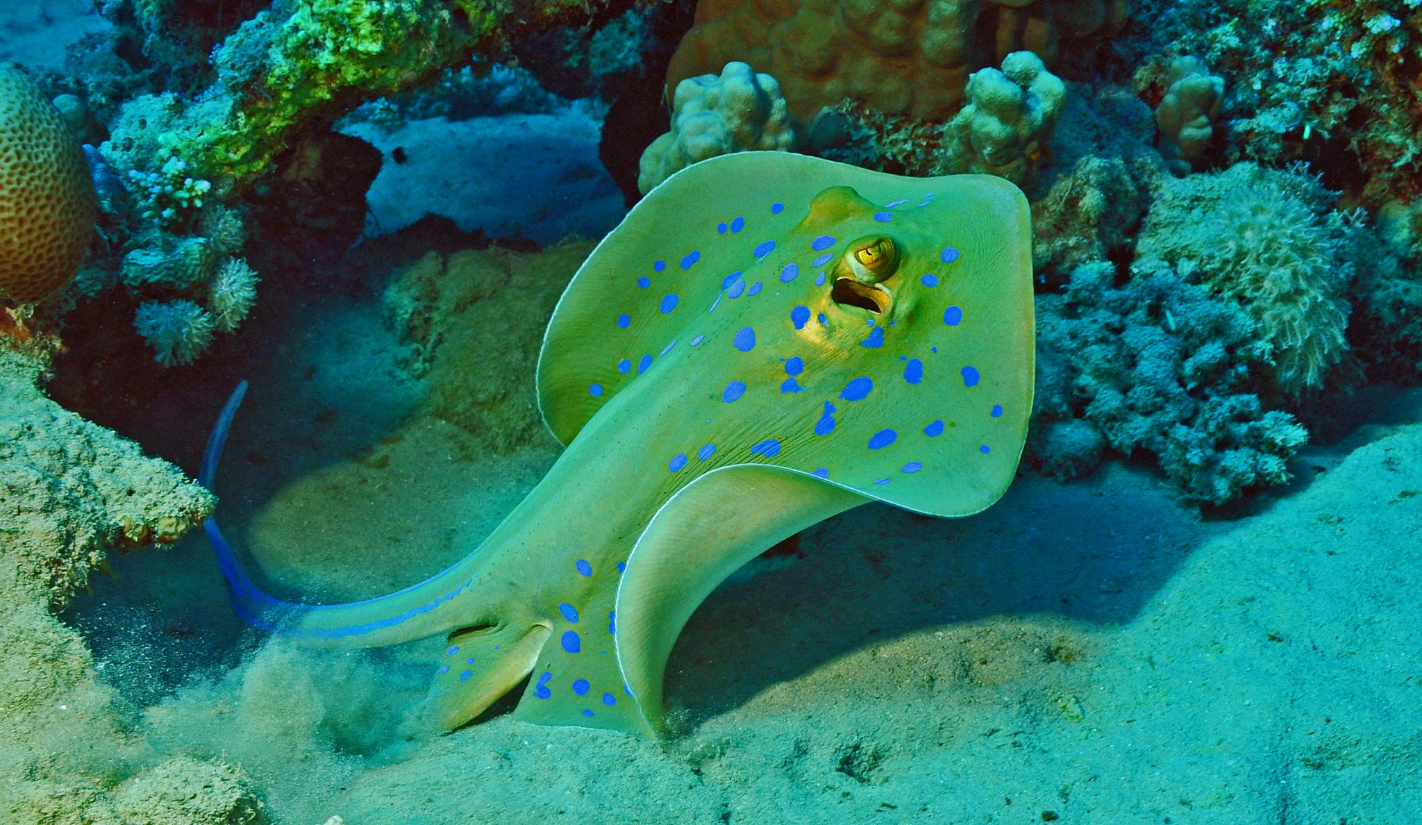 Blue spotted stingray by Phif60