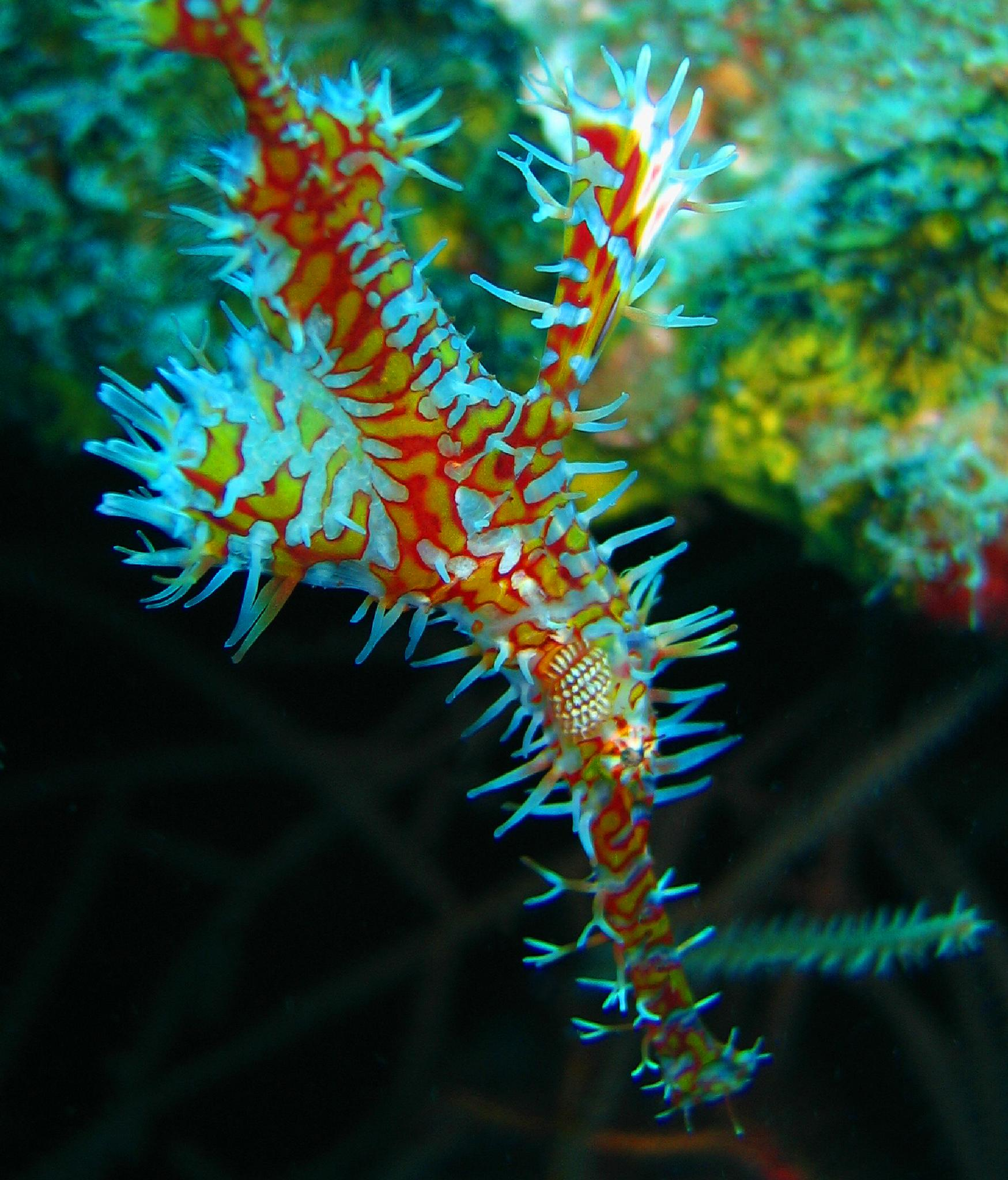 Arlequin ghost pipe fish by Phif60