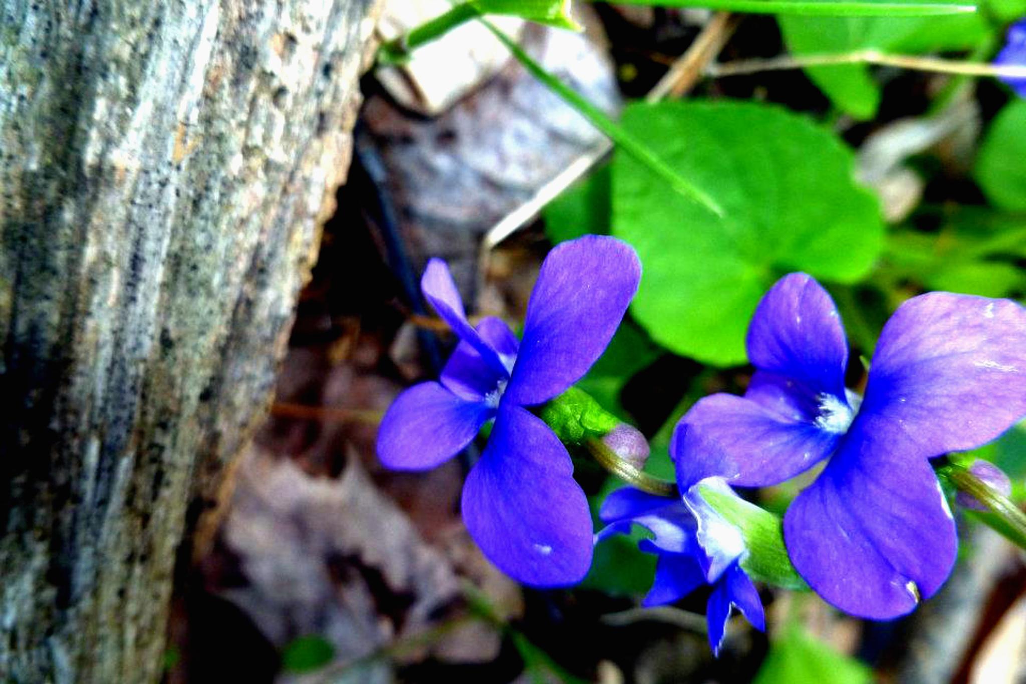 Violets by Cait Templeton