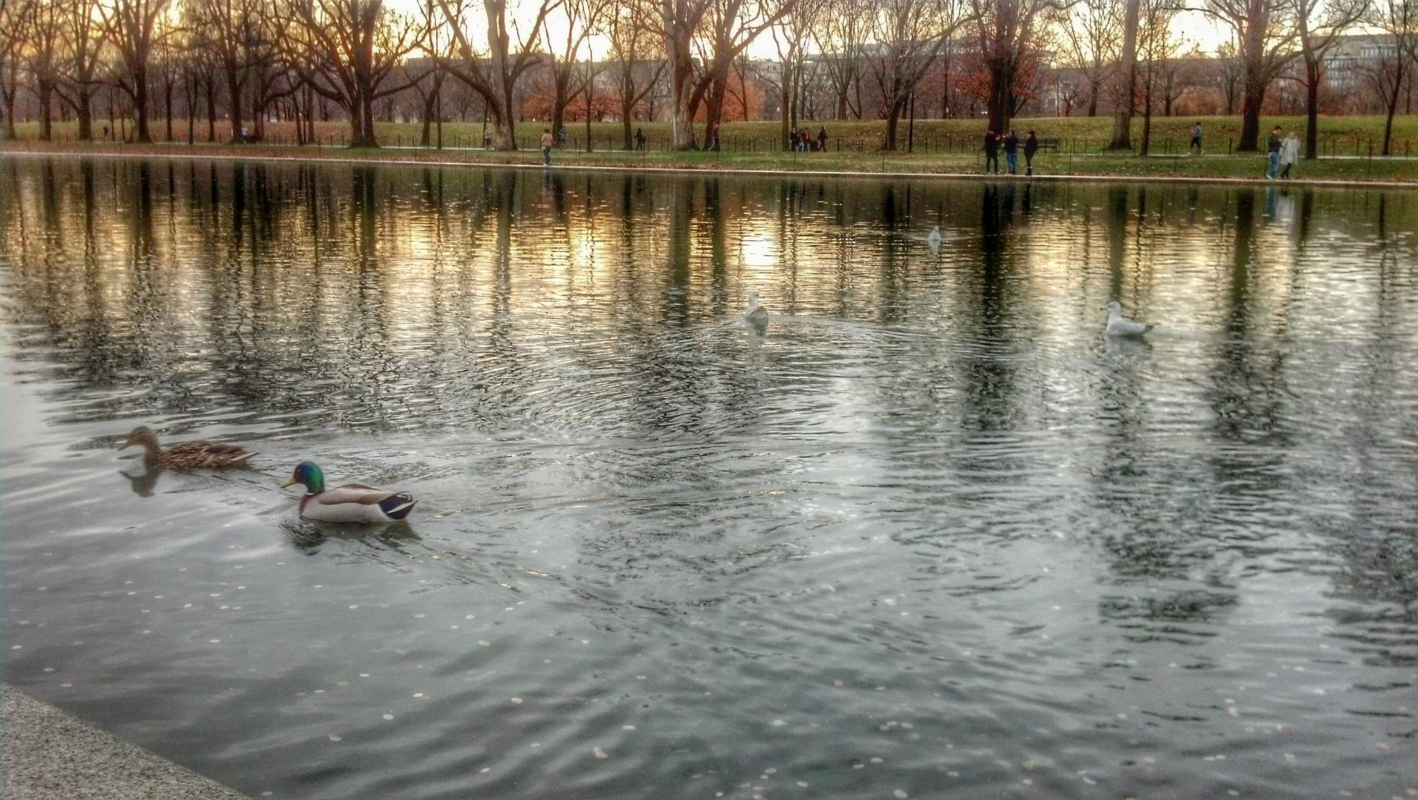 ducks in DC by Cait Templeton