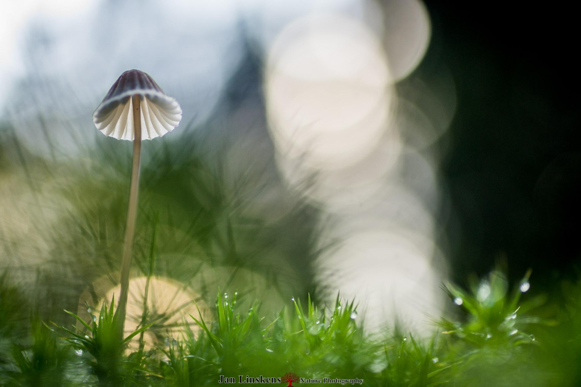 Mushroom by jan.linskens.18