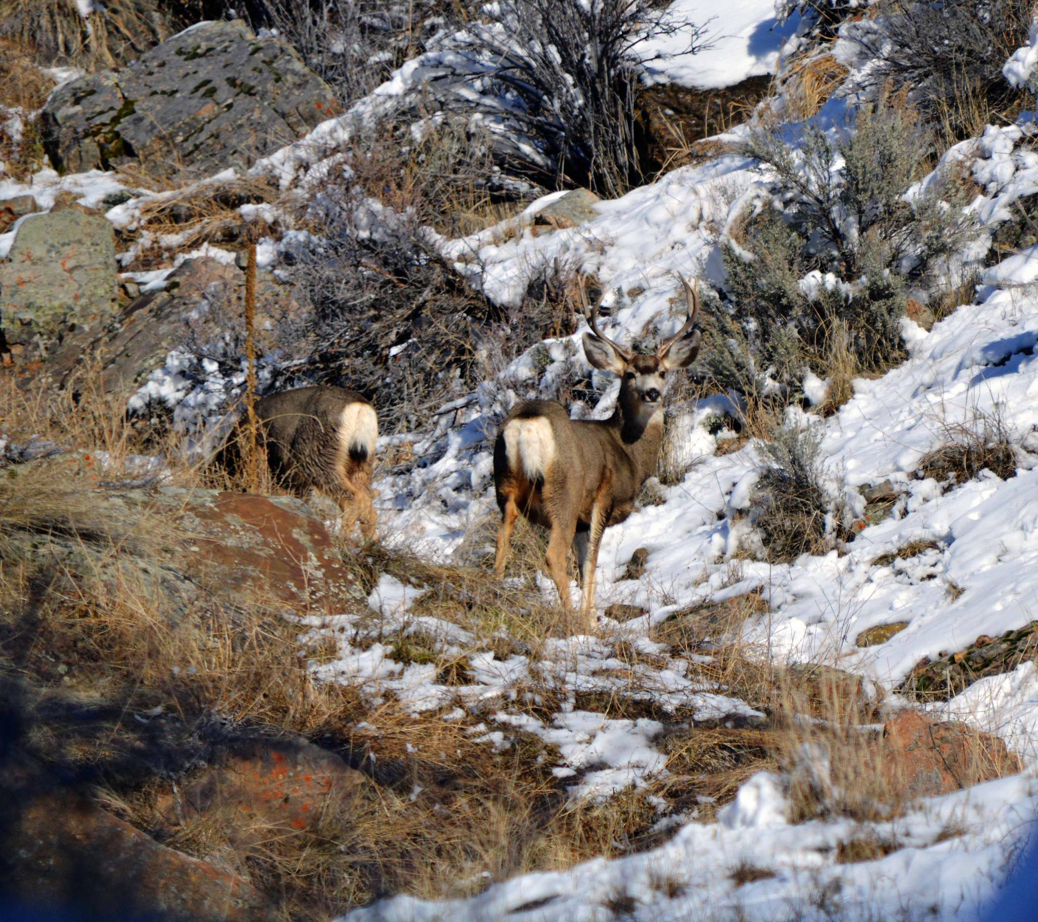 Mule Deer Buck by JBP