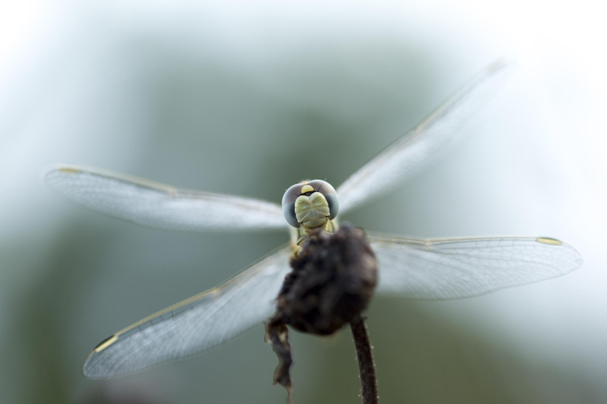 Photo in Macro #macro #dragonfly #nature #insect #canon