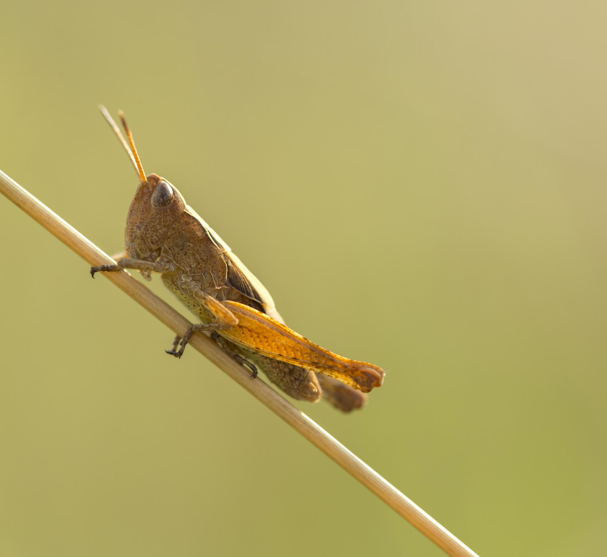 Photo in Macro #macro #grasshopper #nature #insect #canon