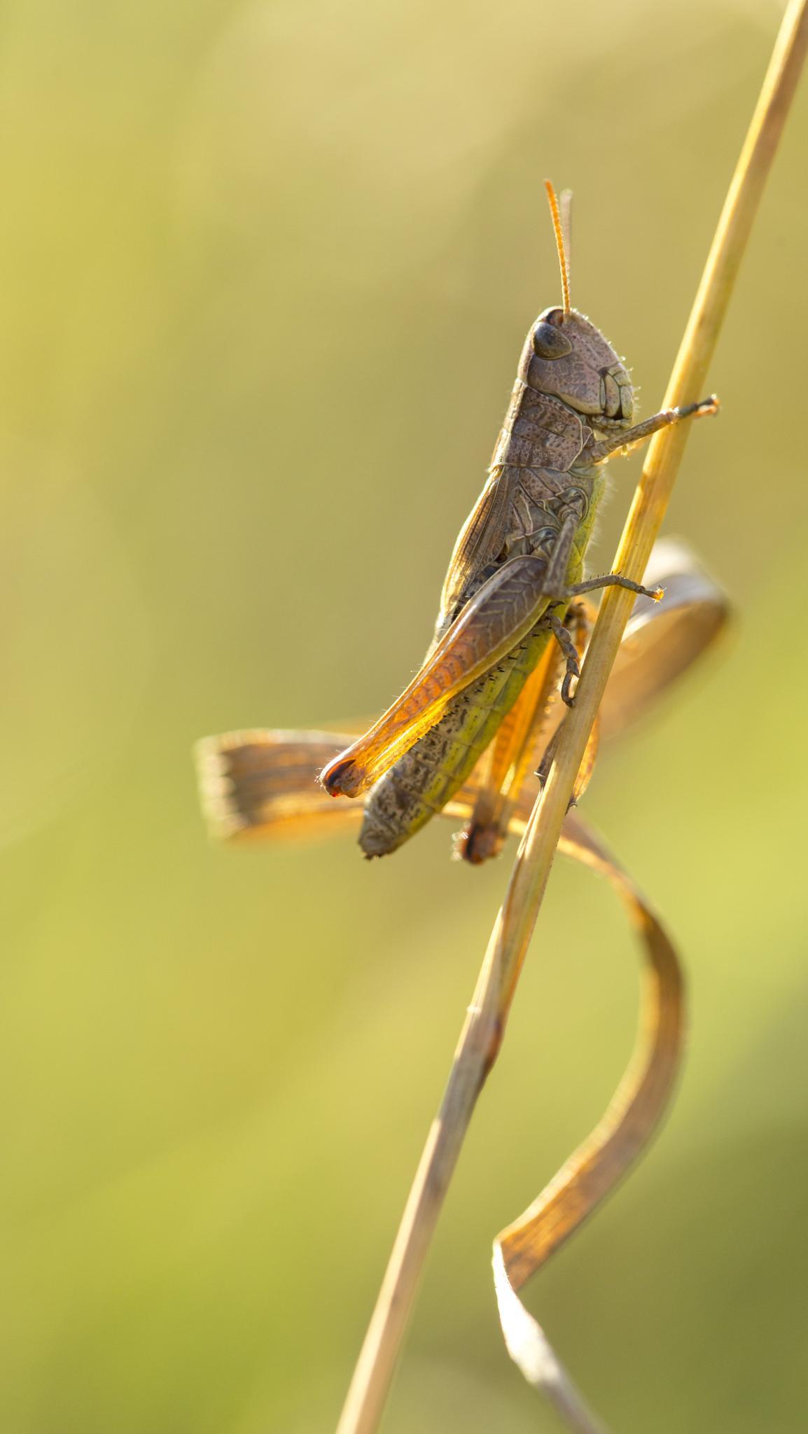 Photo in Macro #macro #grasshopper #nature #insect #canon