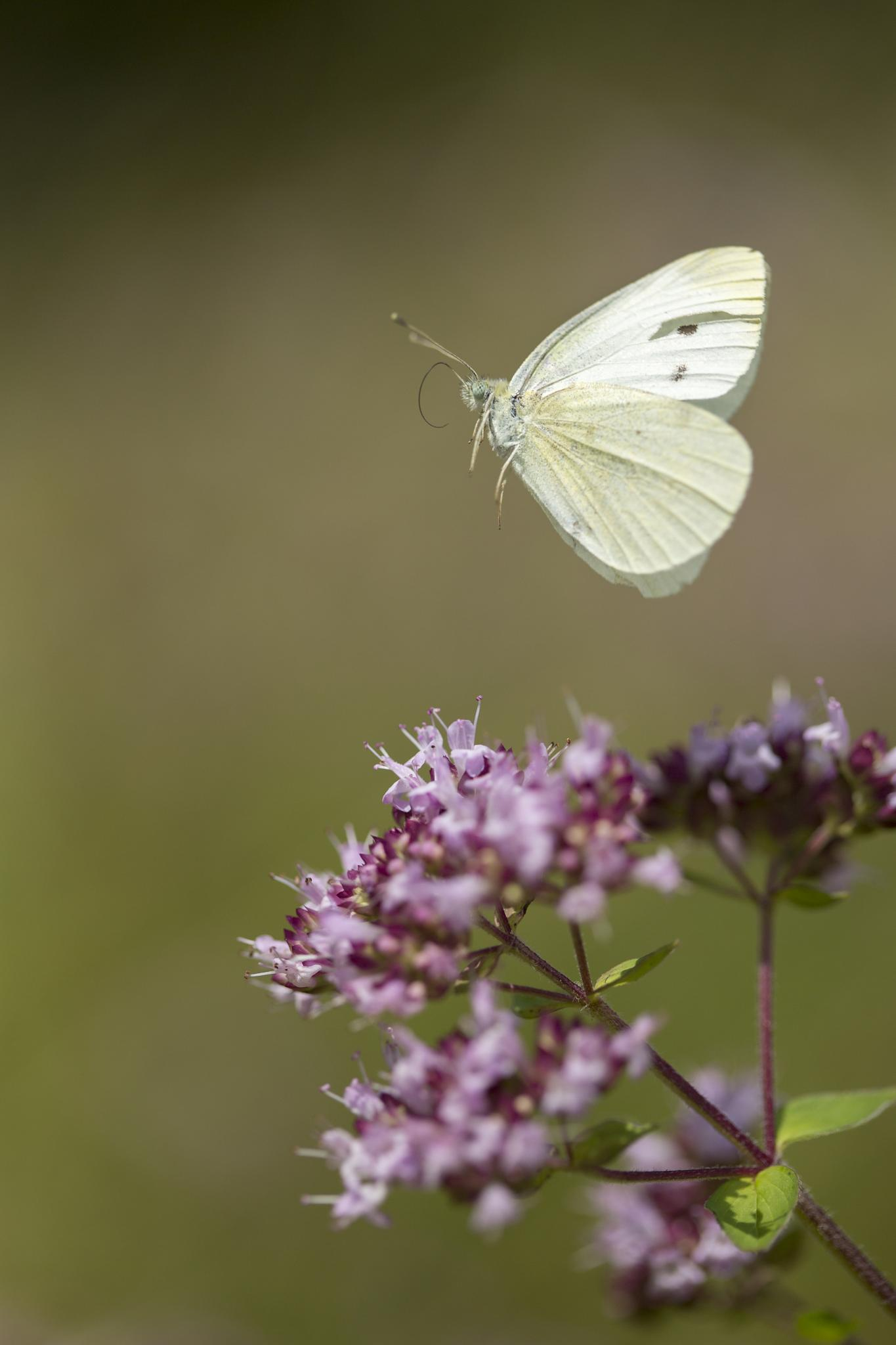 Photo in Macro #macro #butterfly #nature #insect #canon