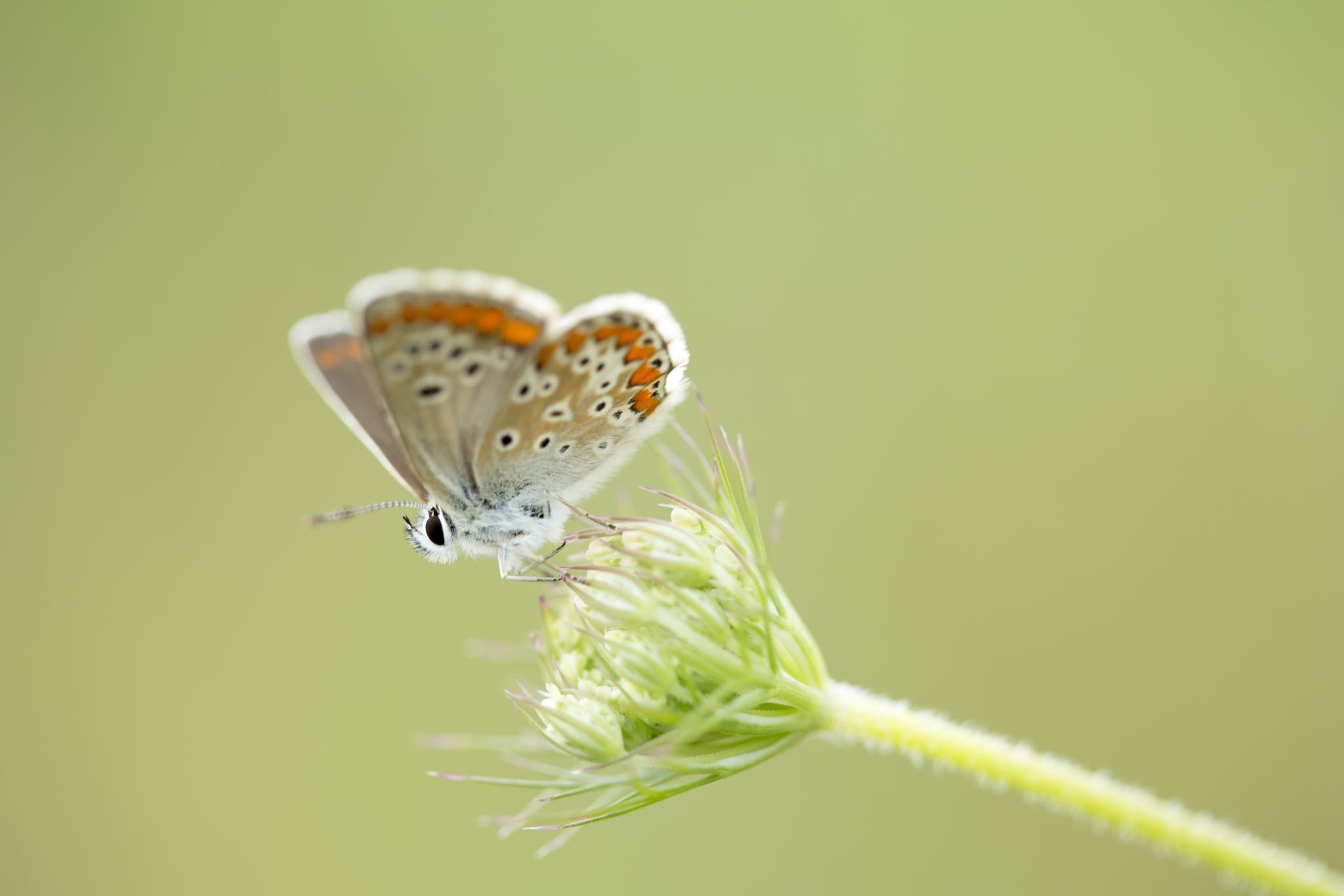 Mrs common blue by Jérémie