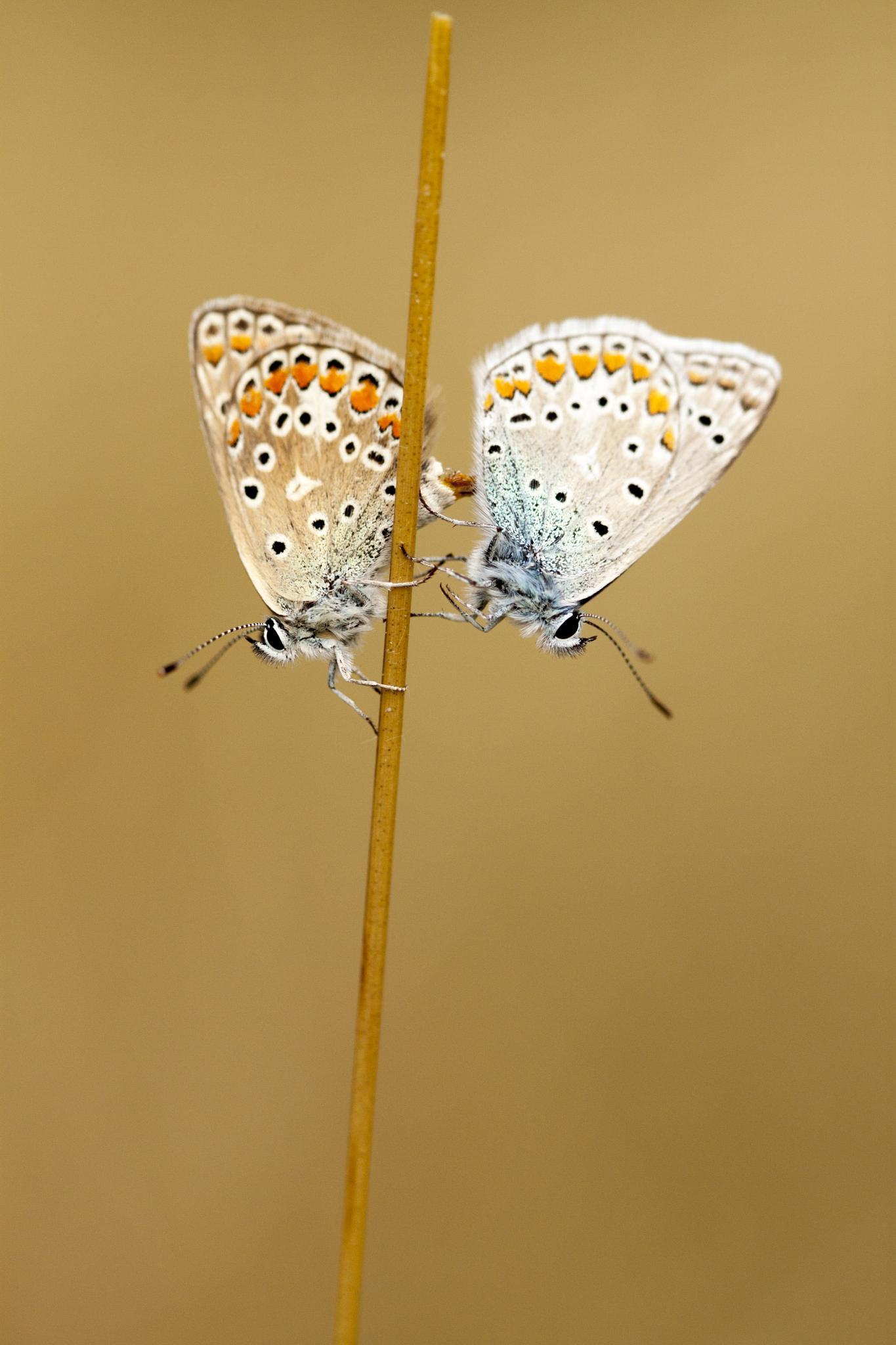 Matting butterflies by Jérémie