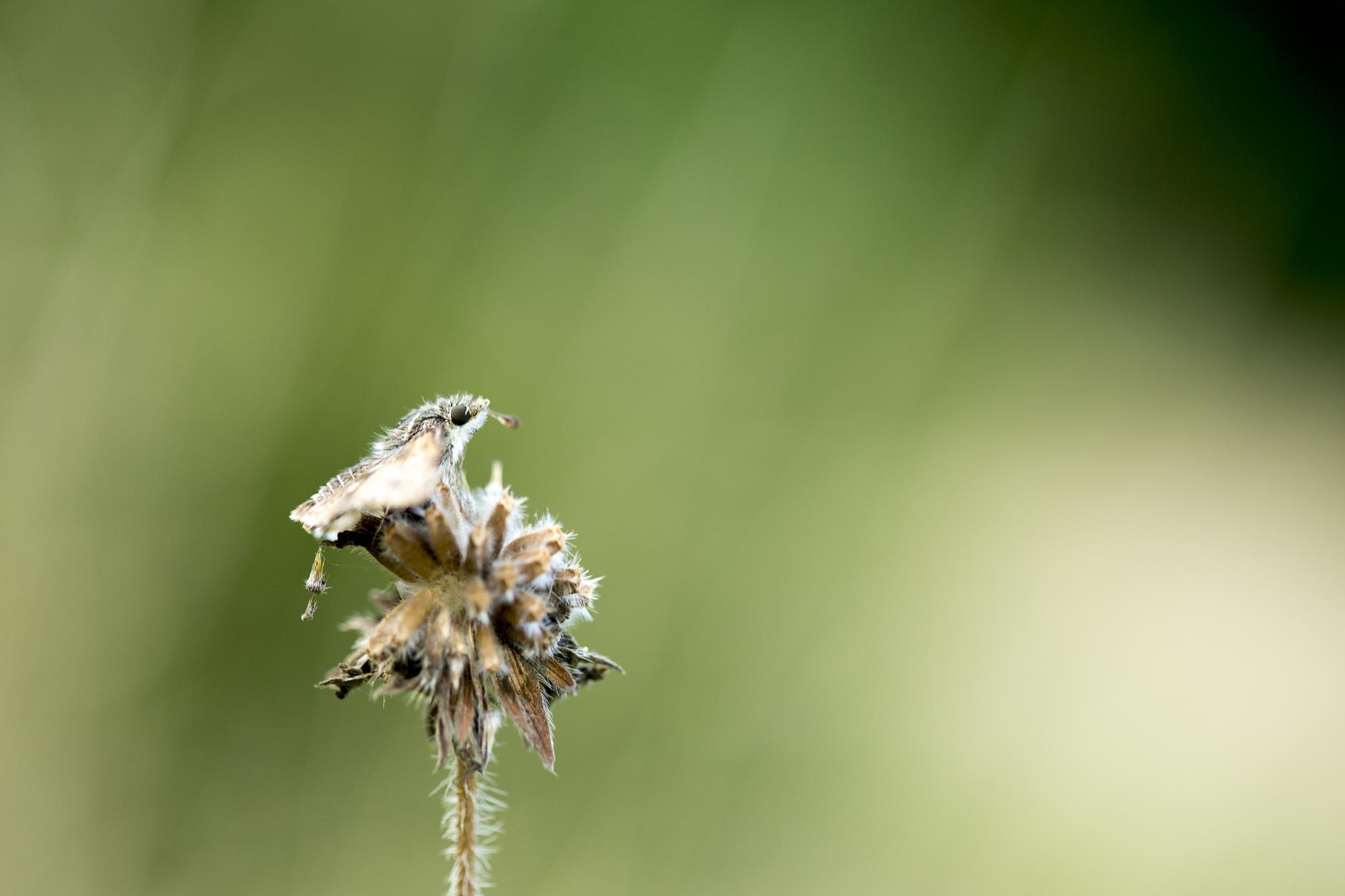 Hesperiidae by Jérémie