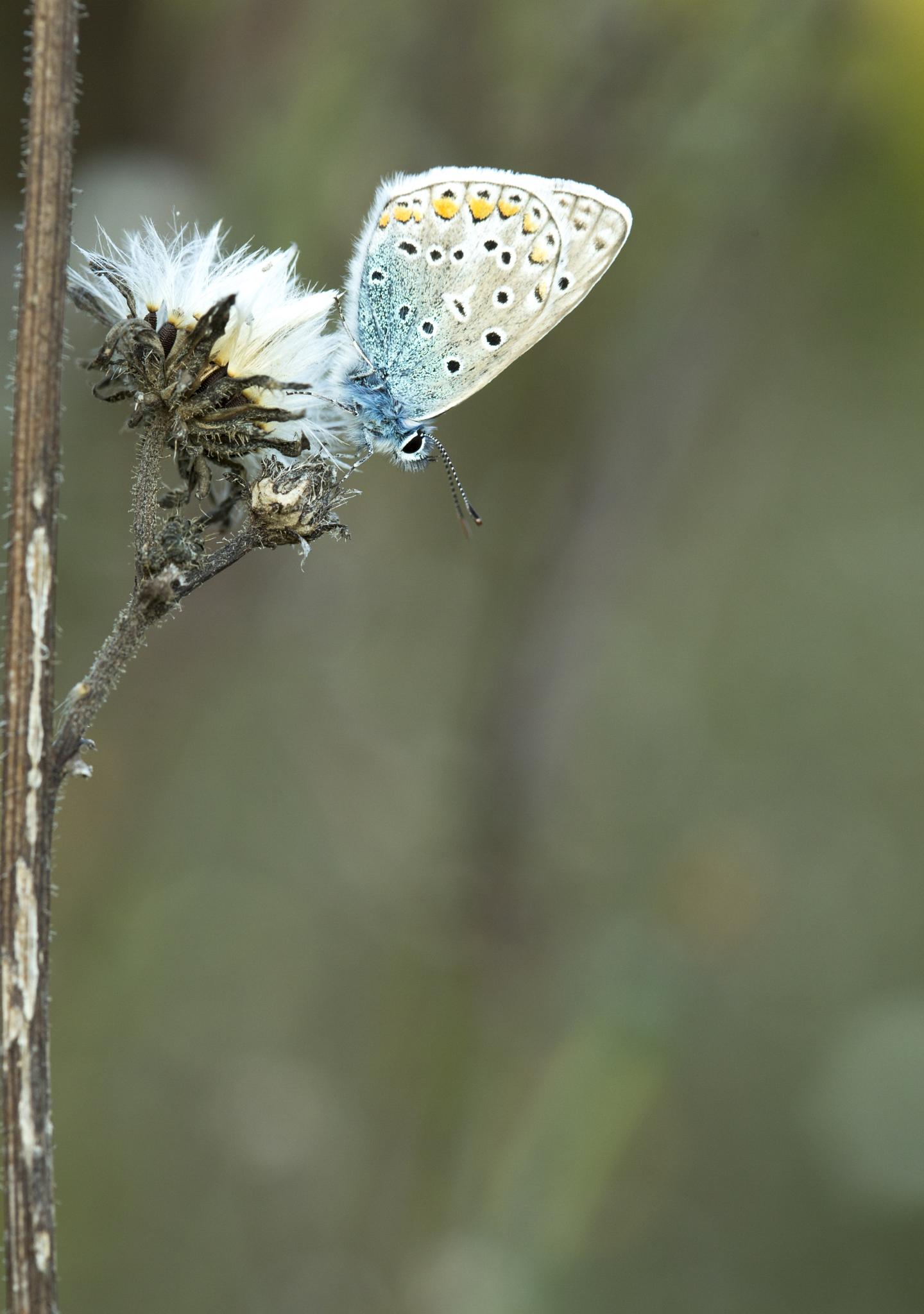 Mr Common blue by Jérémie