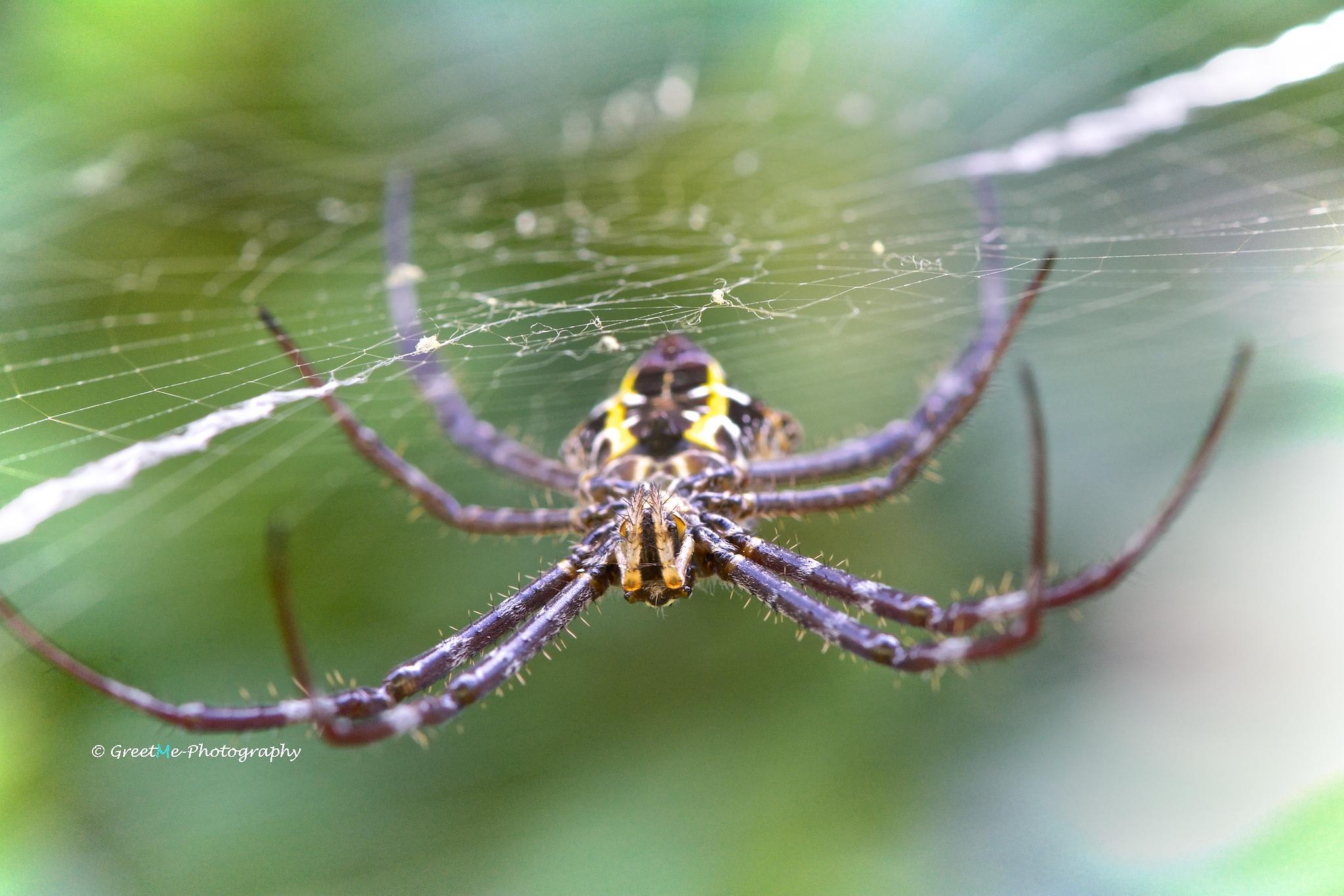 Orb-weaver spider by Stills - by Greet Meulepas