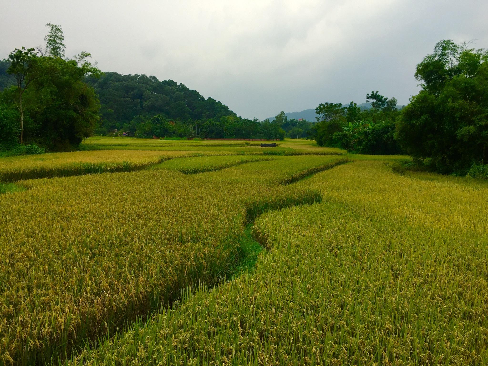Golden rice field... by Trinh Xuan Cuong