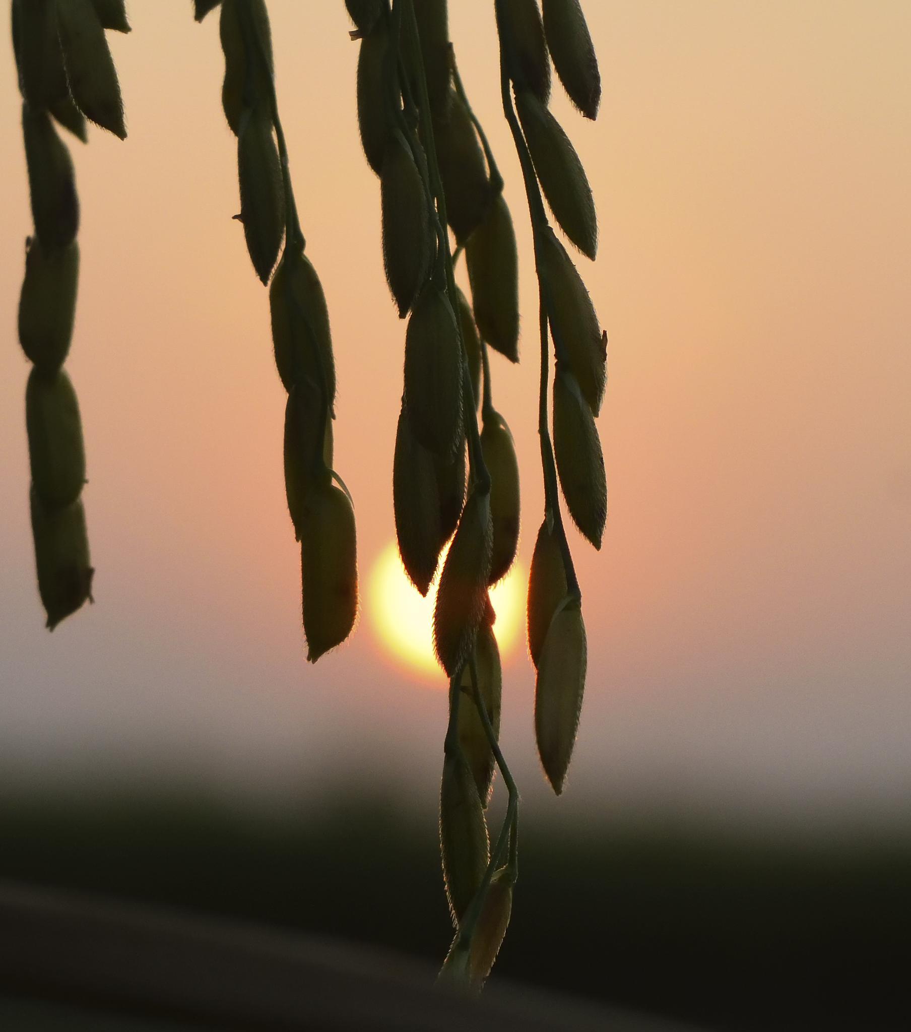 Paddy  by Joydip Ghosh